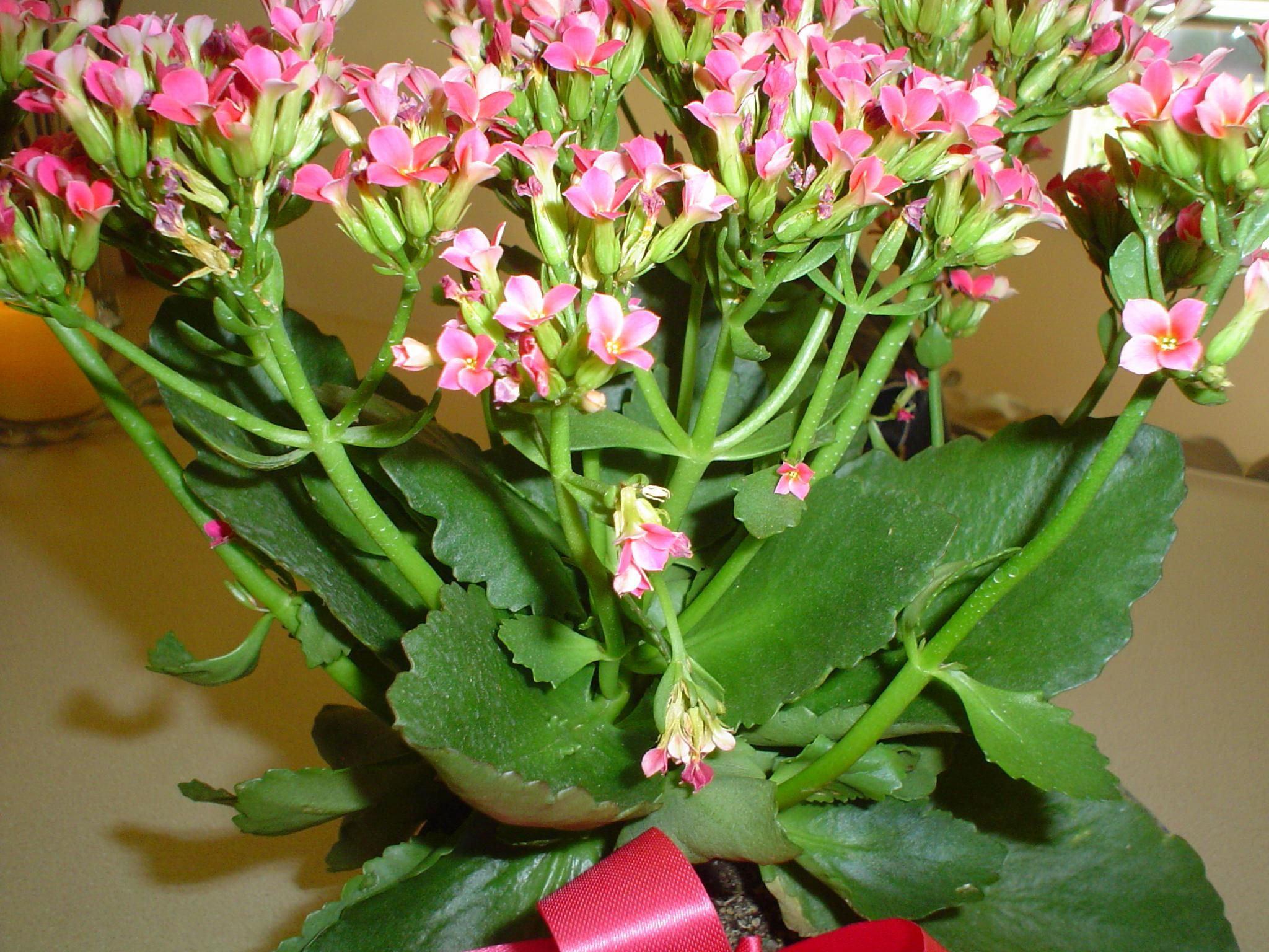 Succulent With Pink Flowers Pink Blooming Succulent Is A Kalanchoe