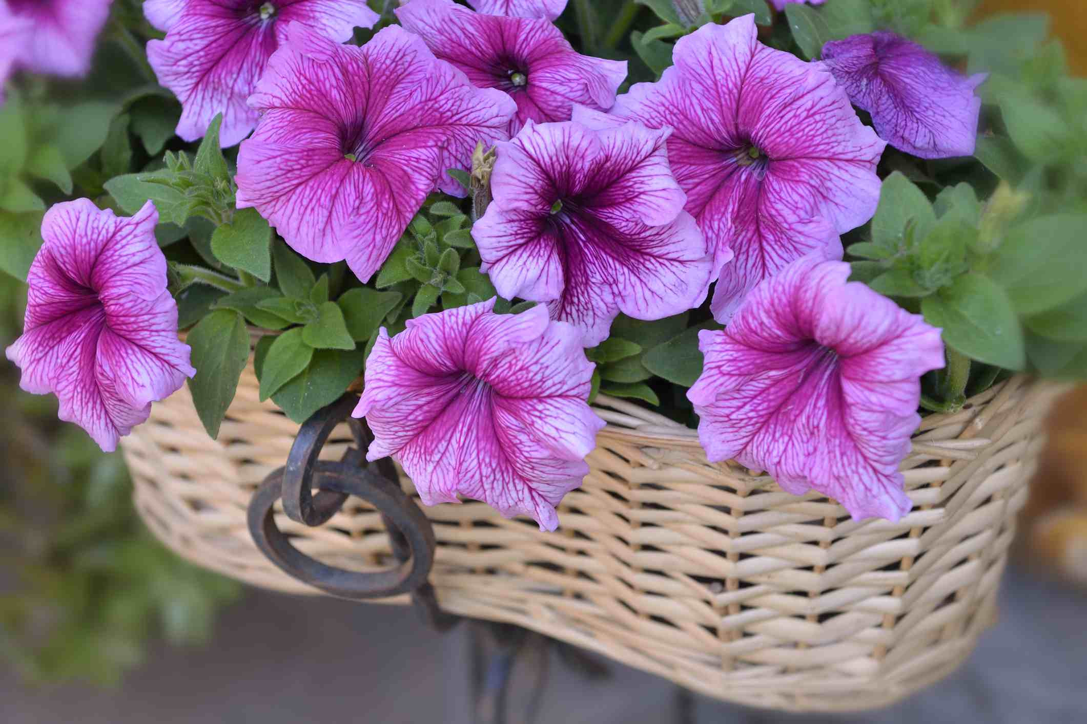 Petunia flowers Getty 588b81a15f9b5874ee d