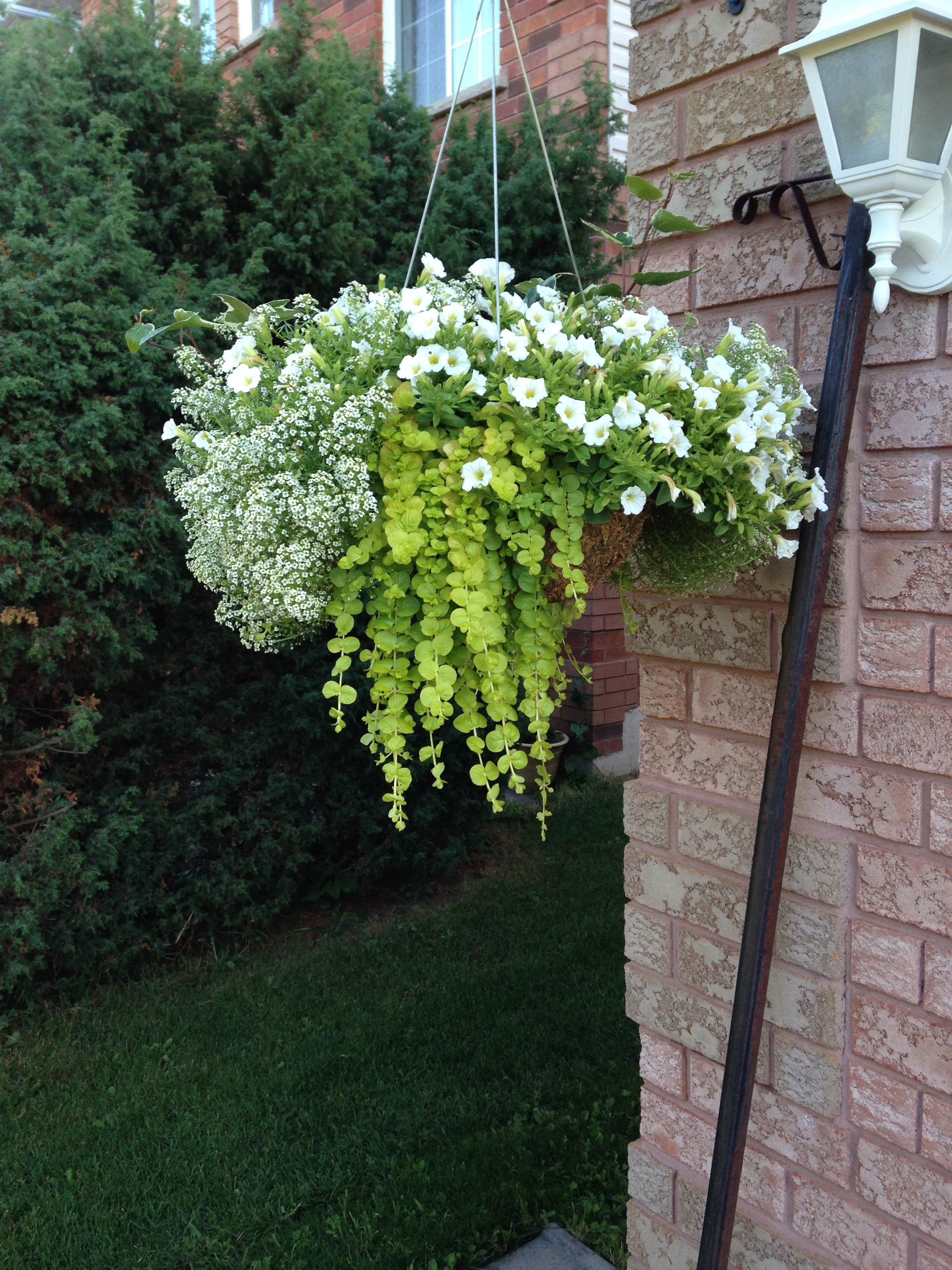 White and green hanging basket for the full sun Trailing allysum has an amazing fragrance