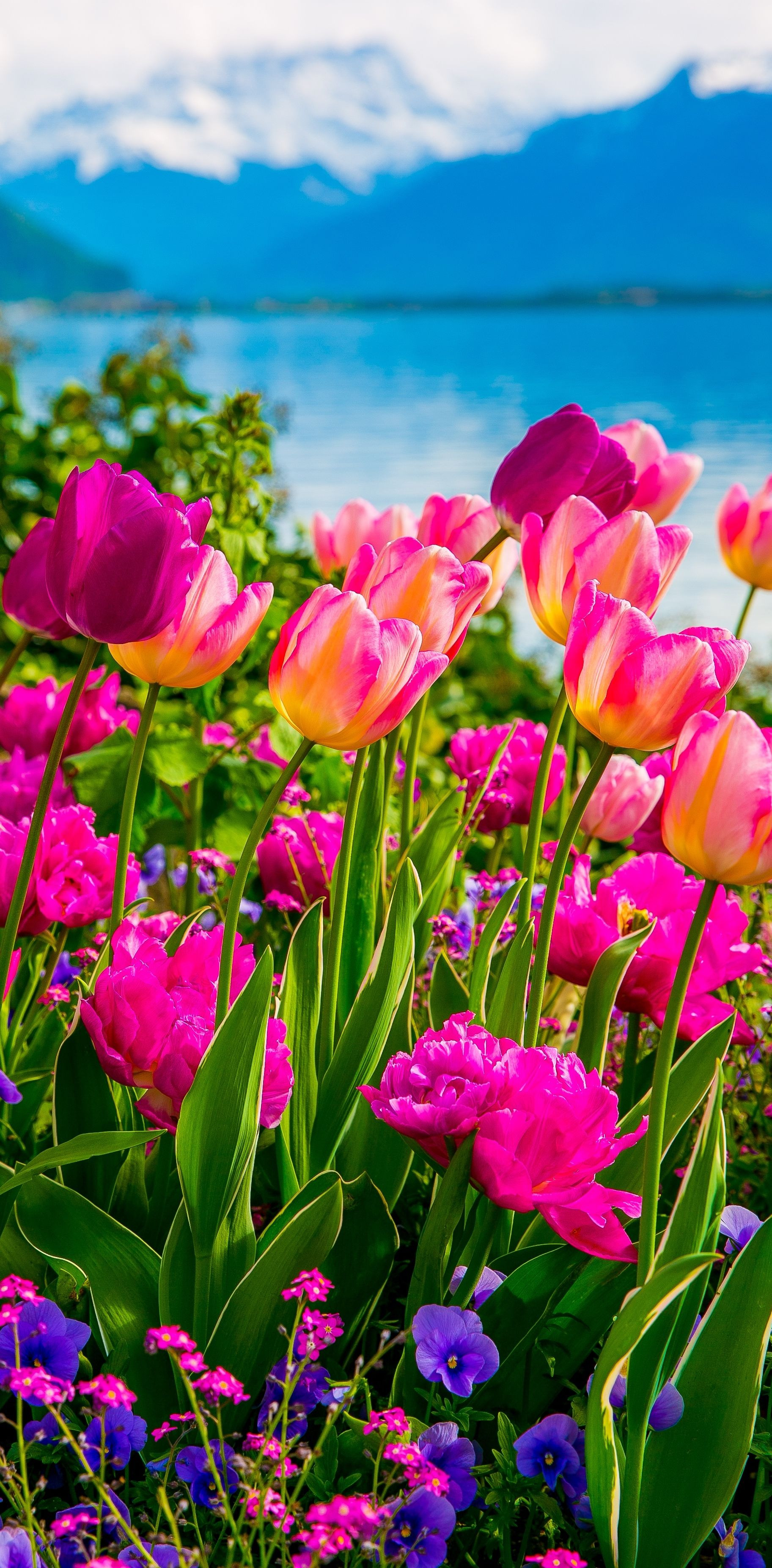 Pink and purple tulips Flowers on Lake Geneva with Swiss Alps Montreux Switzerland Europe travel vacation