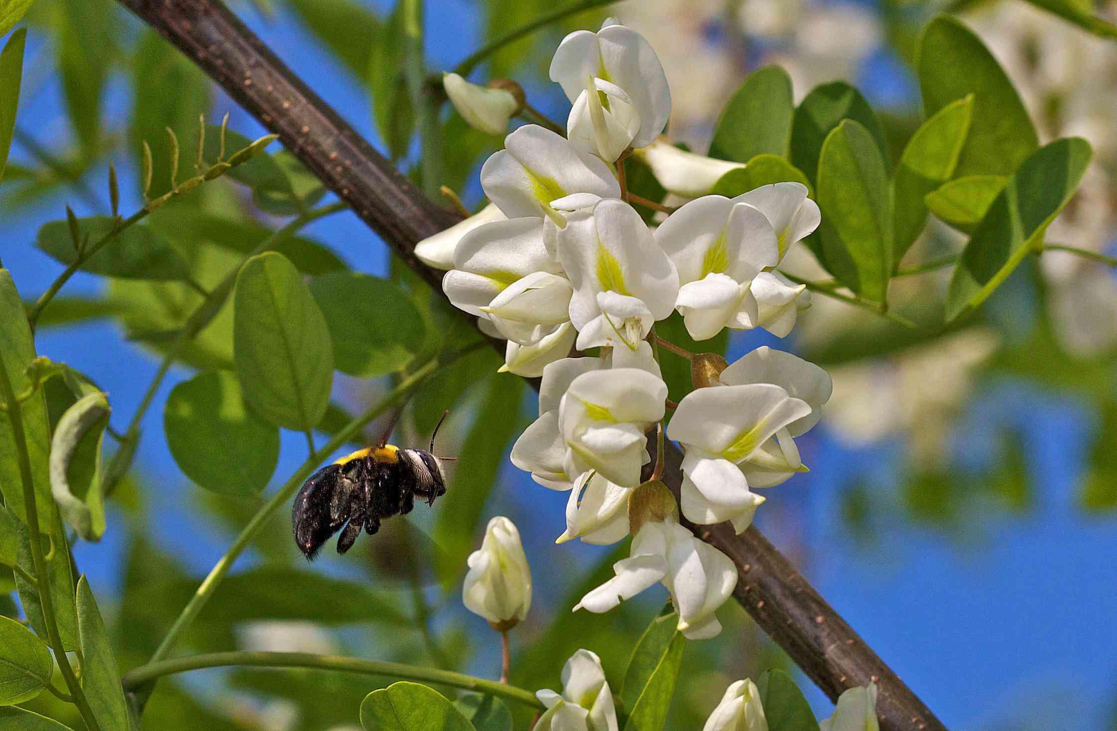 Robinia pseudoacacia 58b8e15a5f9b58af5c903cc5