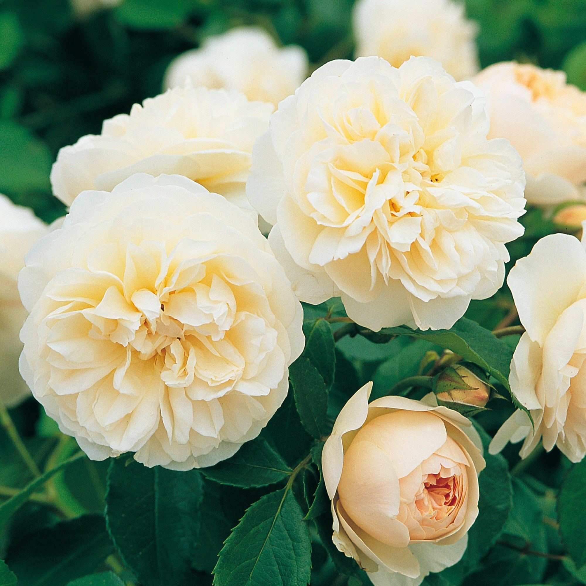 This rose demonstrates the pure perfection of the English Musks at their best Ideal for poor soil