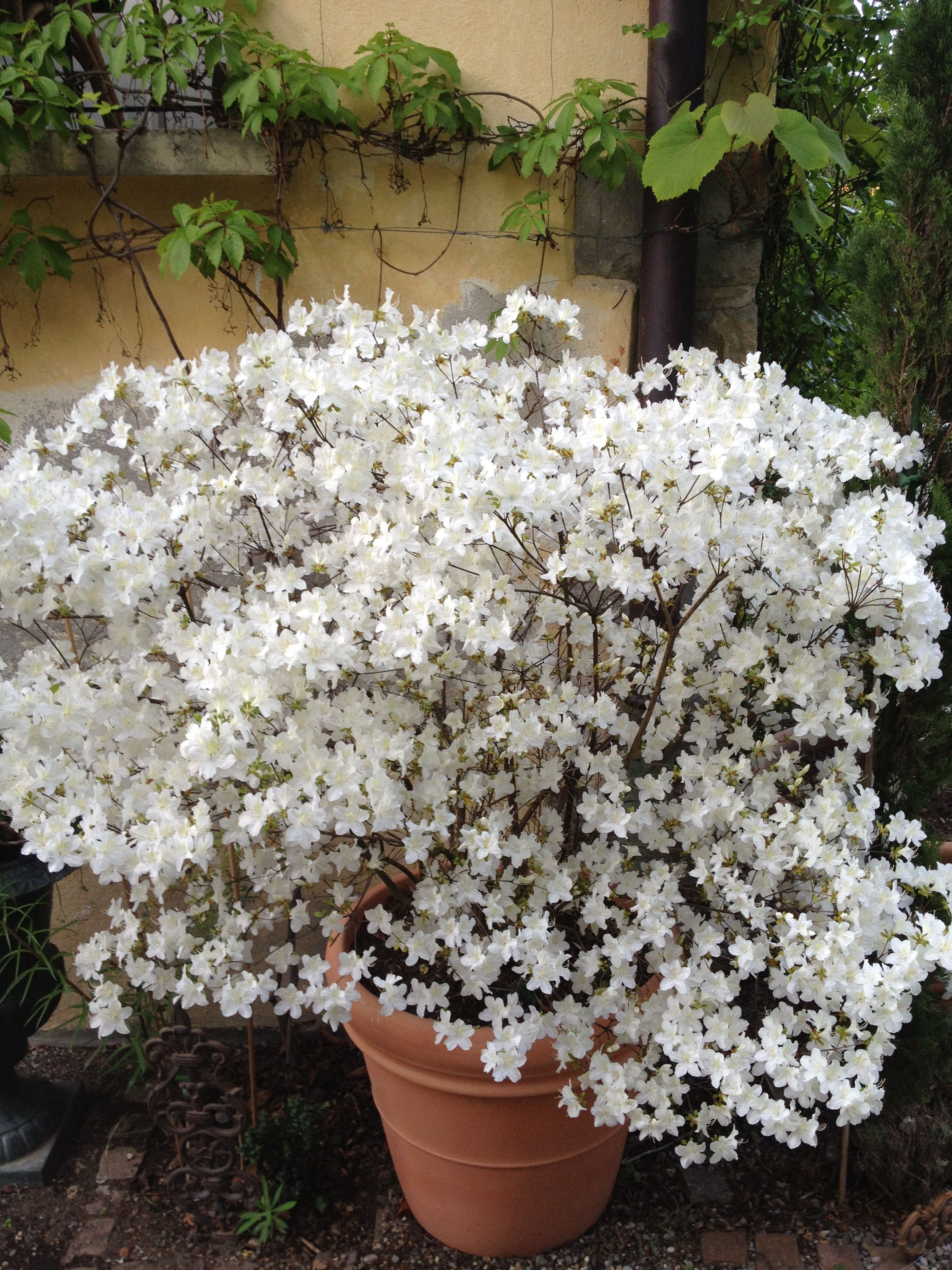 Azalea japonica Bianca White garden Pinterest