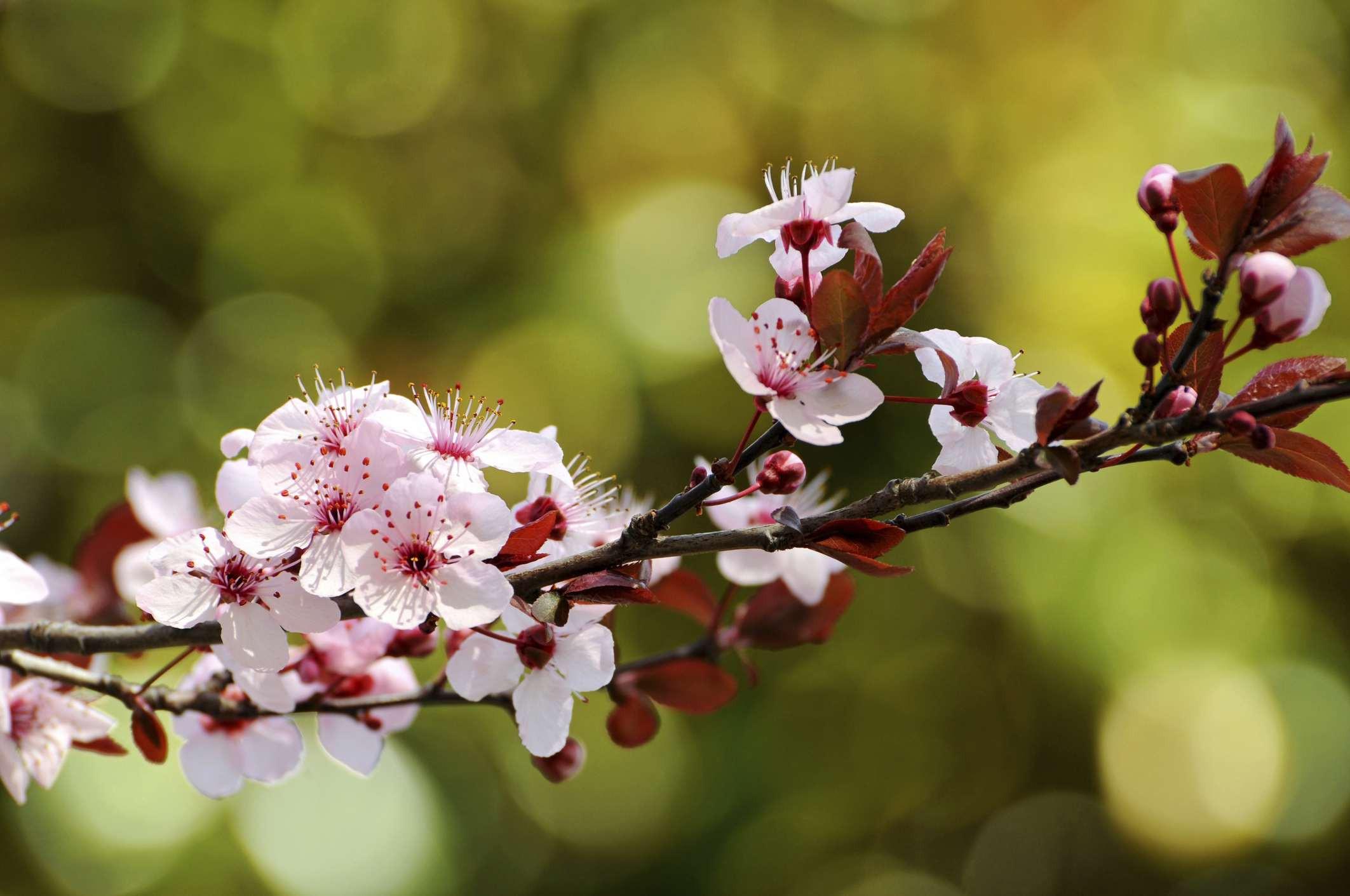 sand cherry blooming branch big 5b356e62c9e77c