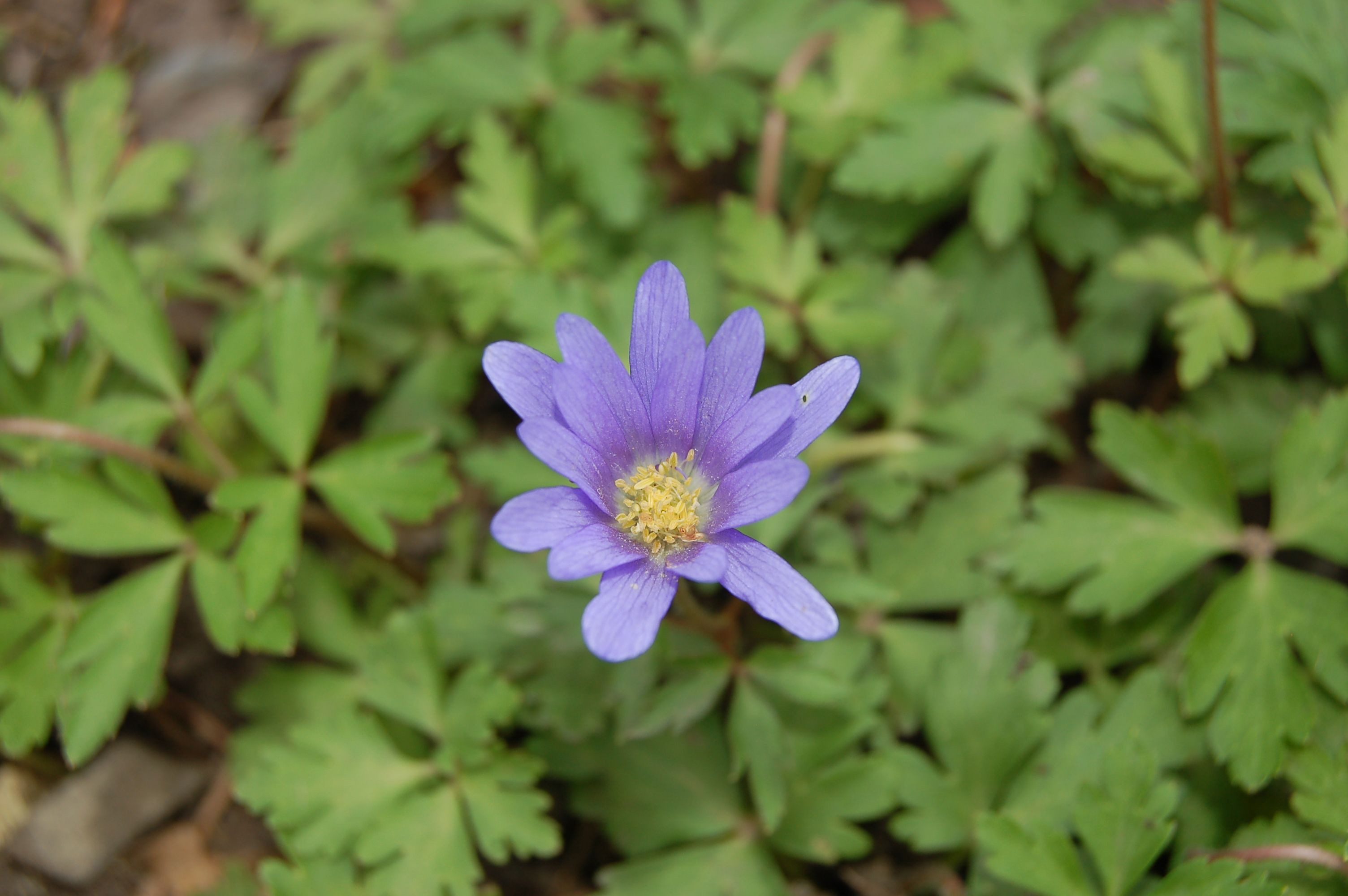 "Grecian windflower is known botanically as Anemone blanda Another plant that is sometimes referred to as an ""anemone"" is Hepatica americana"