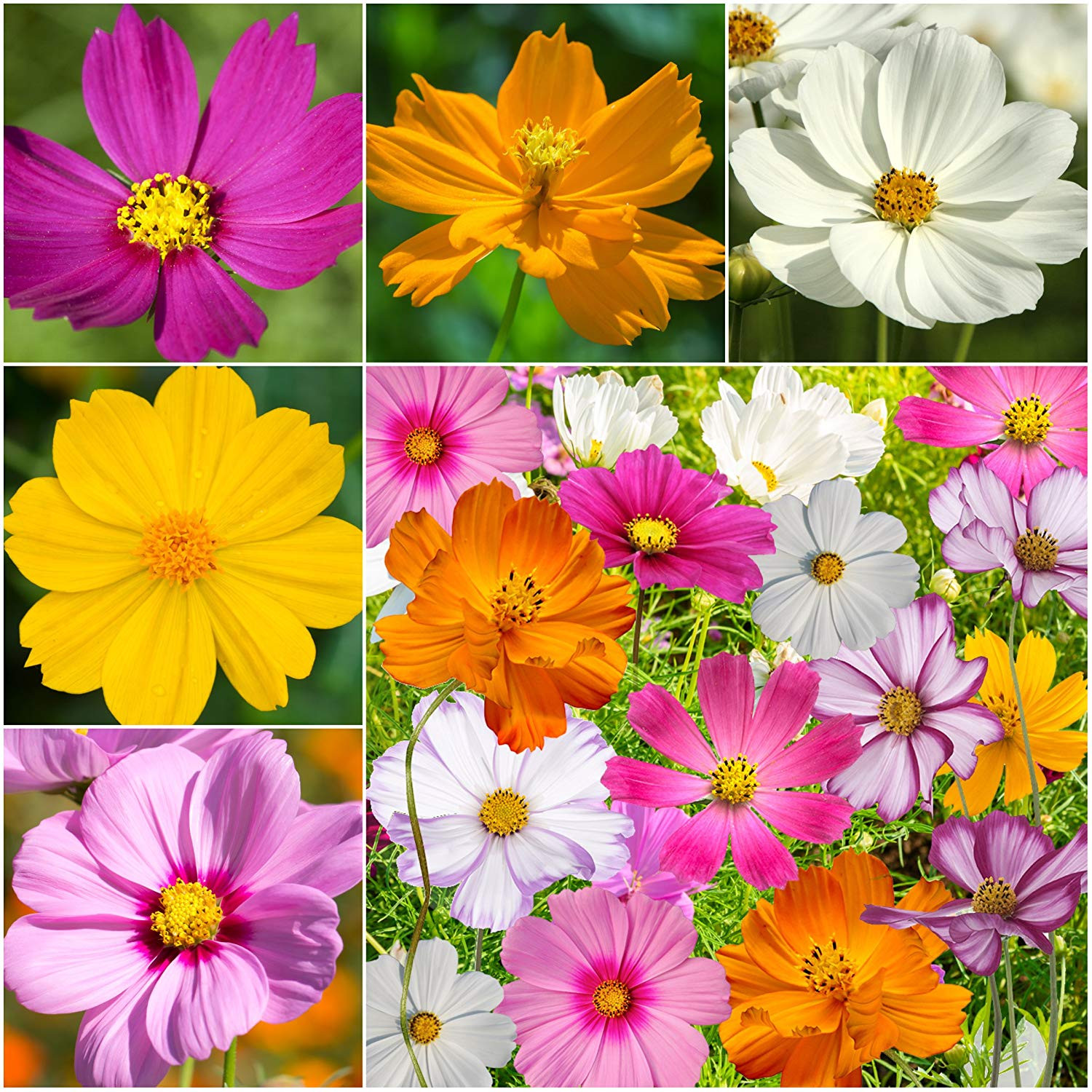 Amazon Bulk Package of 7 000 Seeds Crazy Mix Cosmos Cosmos bipinnatus Non GMO Seeds by Seed Needs Garden & Outdoor