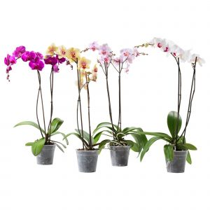 Caring for My orchid Luxury Phalaenopsis Potted Plant orchid 2 Stems
