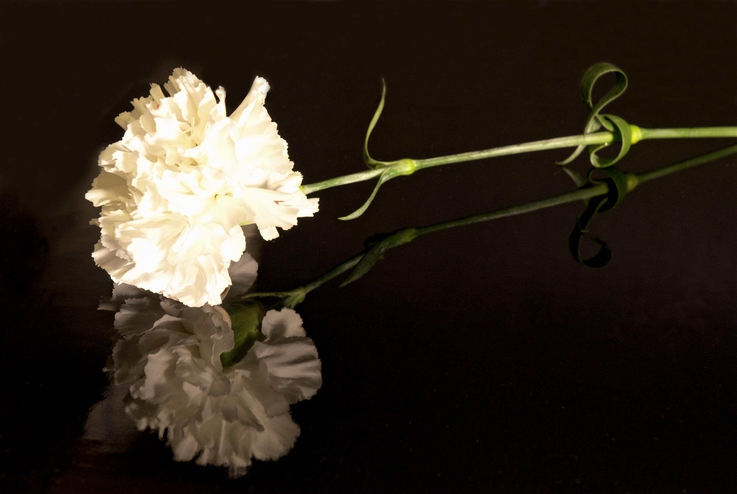 Wallpaper chinese carnation flower petals bud