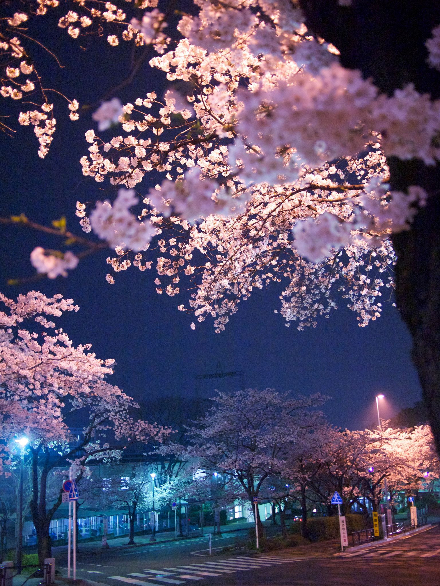 Cherry Blossom Japan 桜 CherryBlossom
