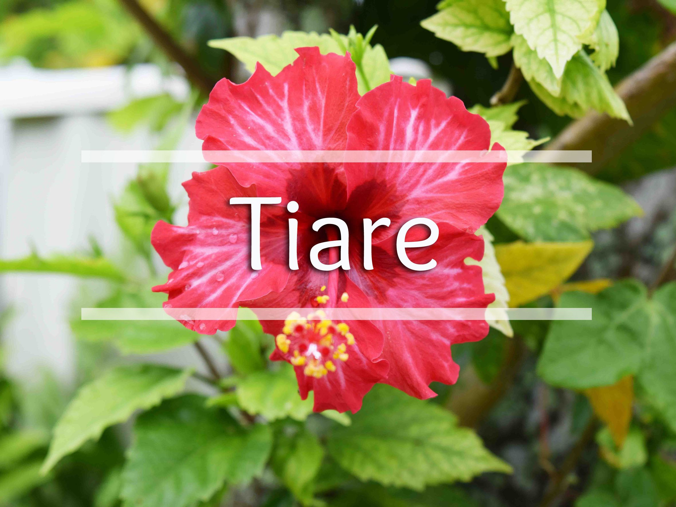 Tiare is the Cook Island Maori word for Flower Pictured above is a gorgeous Hibiscus flower in full bloom on Rarotonga