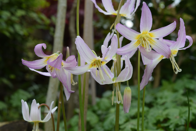 Daffodil Flower Inspirational Erythronium Kinfauns Pink