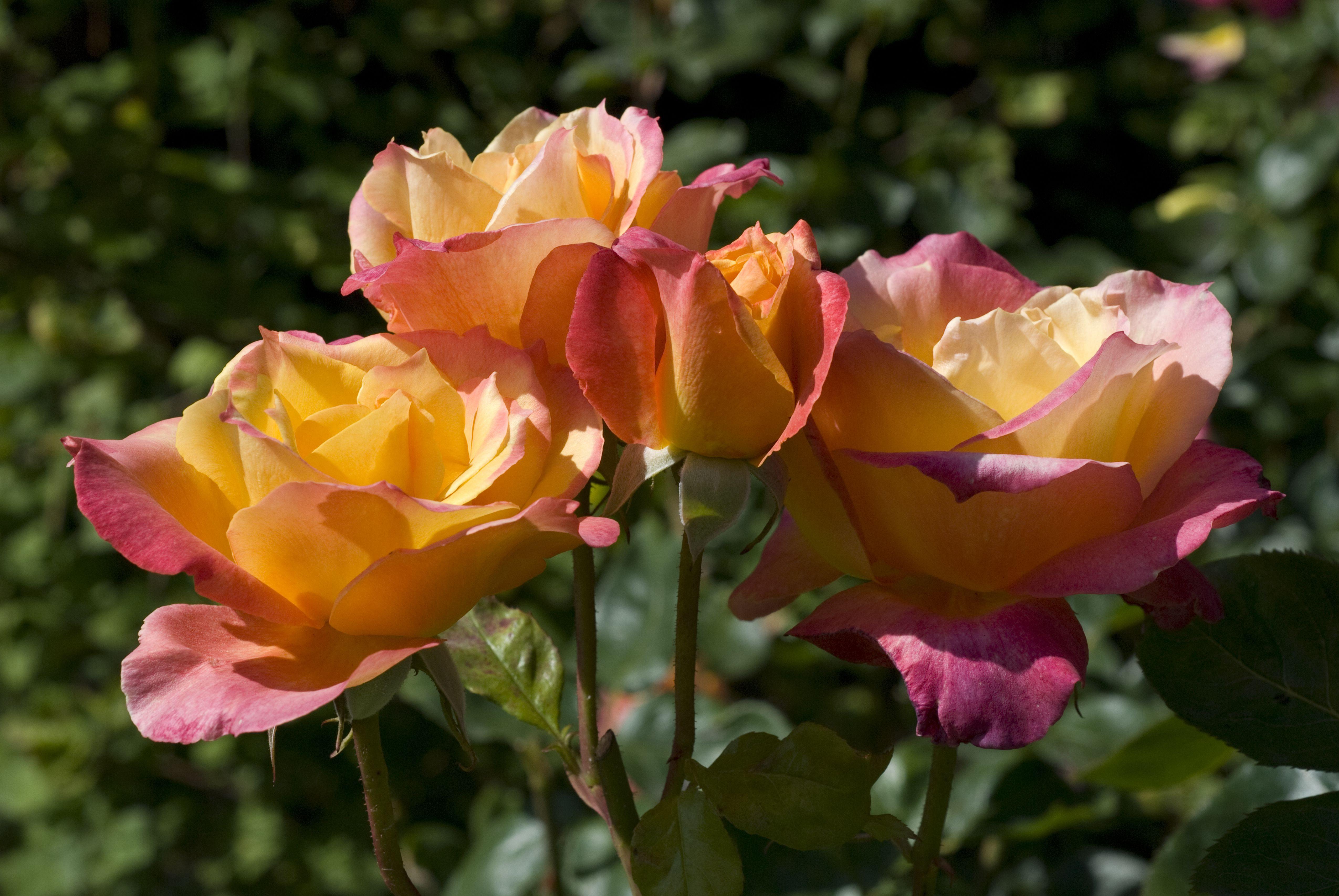 broadway rose 5b1ac2670e23d b6