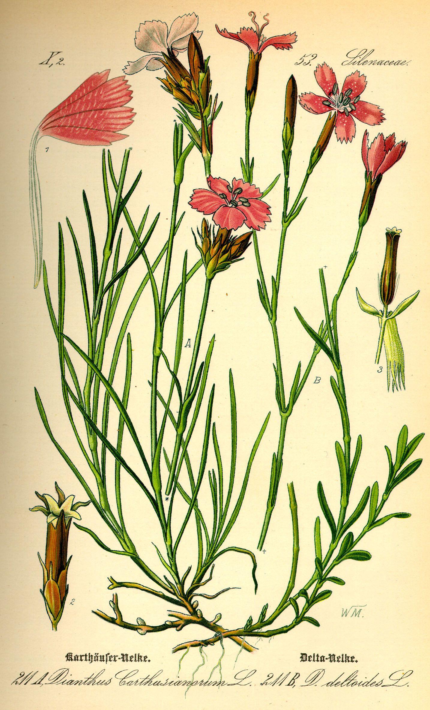 Mélange Indigo Dianthus deltoides