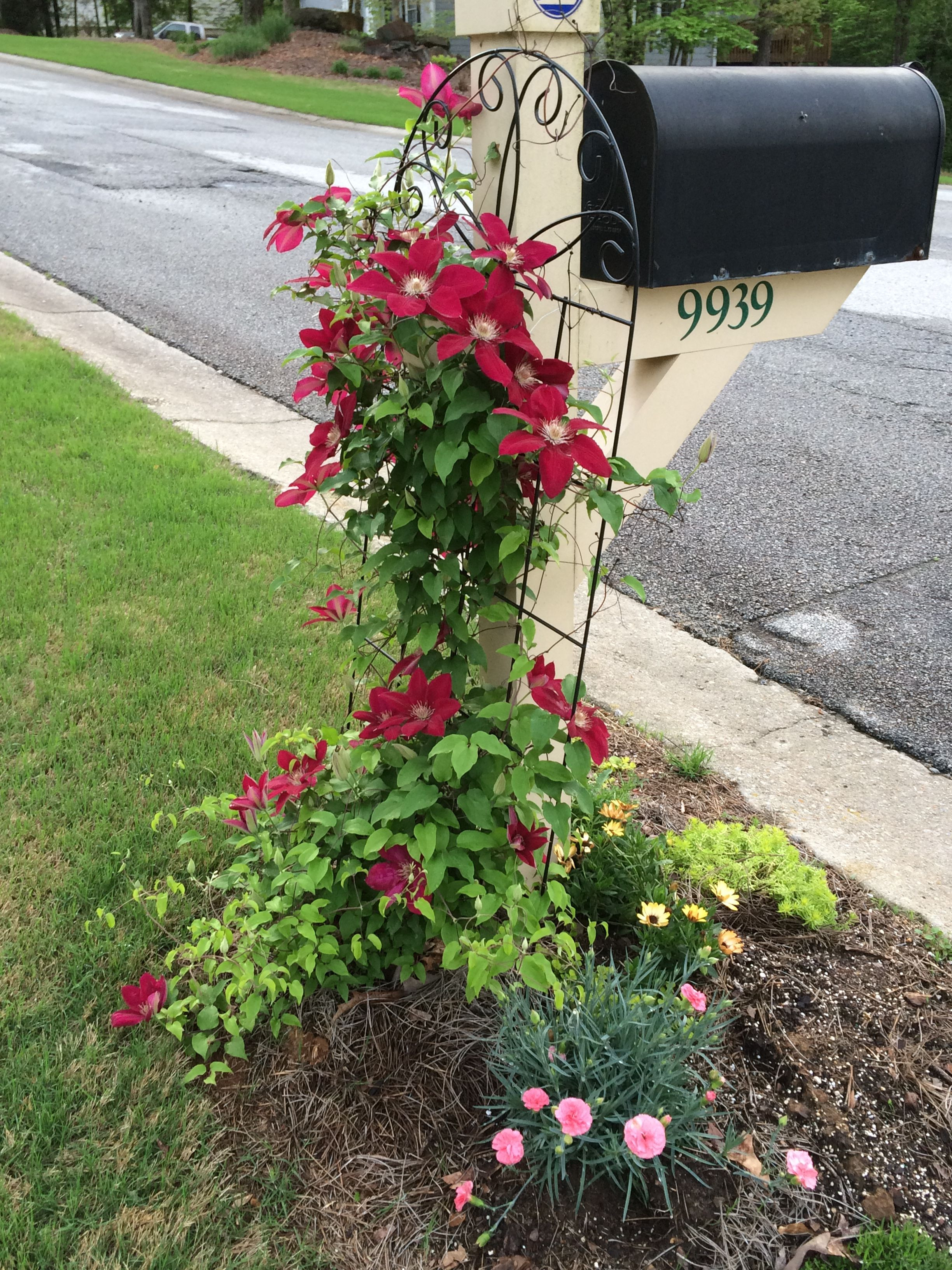 The plant grouping around my mailbox It includes a clematis vine growing in the mailbox trellis a dianthus perennial some creeping Jenny ground cover and