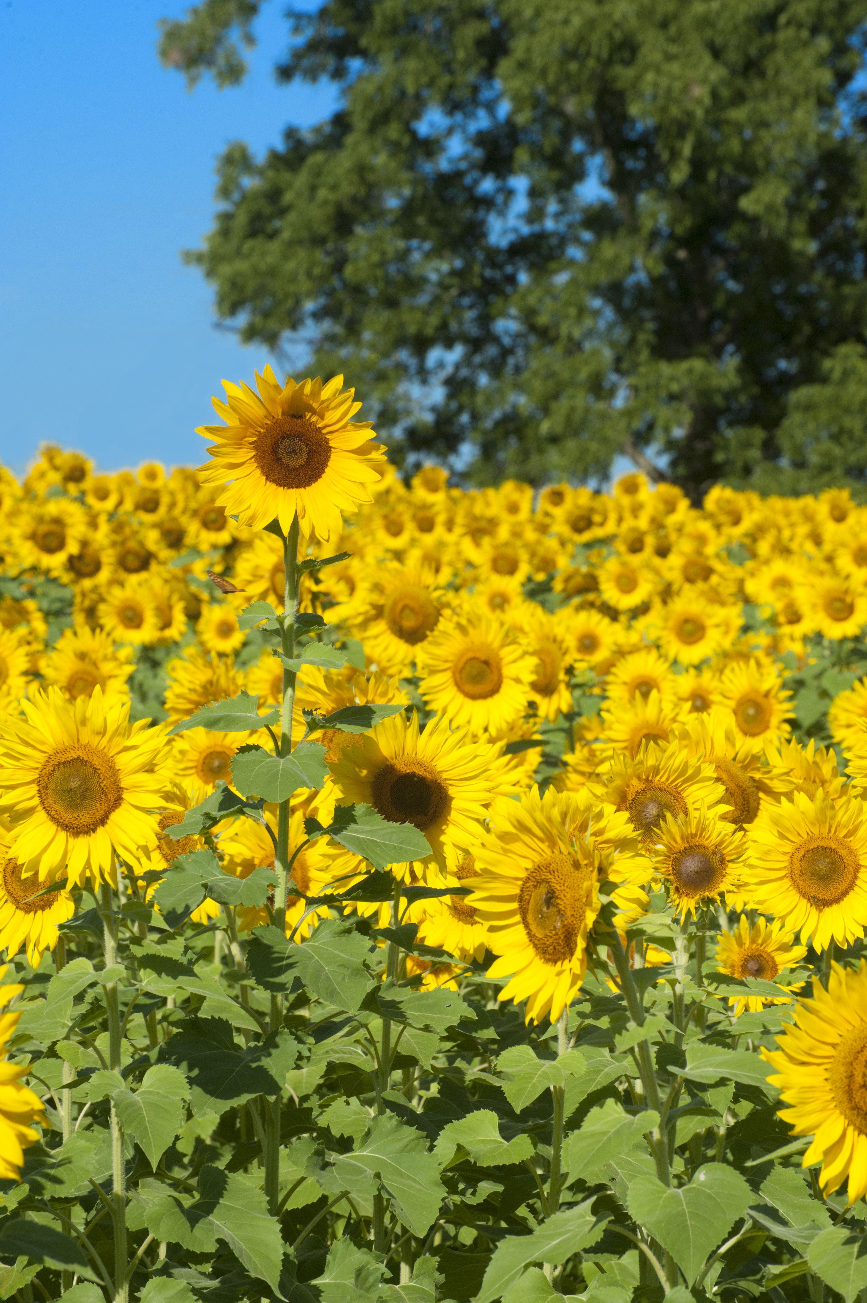 Sunflower field near Raleigh sunflowers flowers nature photography Raleigh Sharkshock visitraleigh