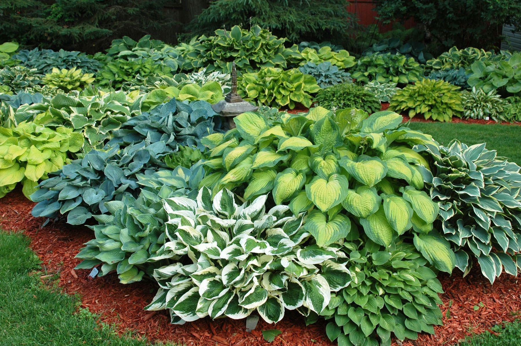 hosta gardens Budd Gardens