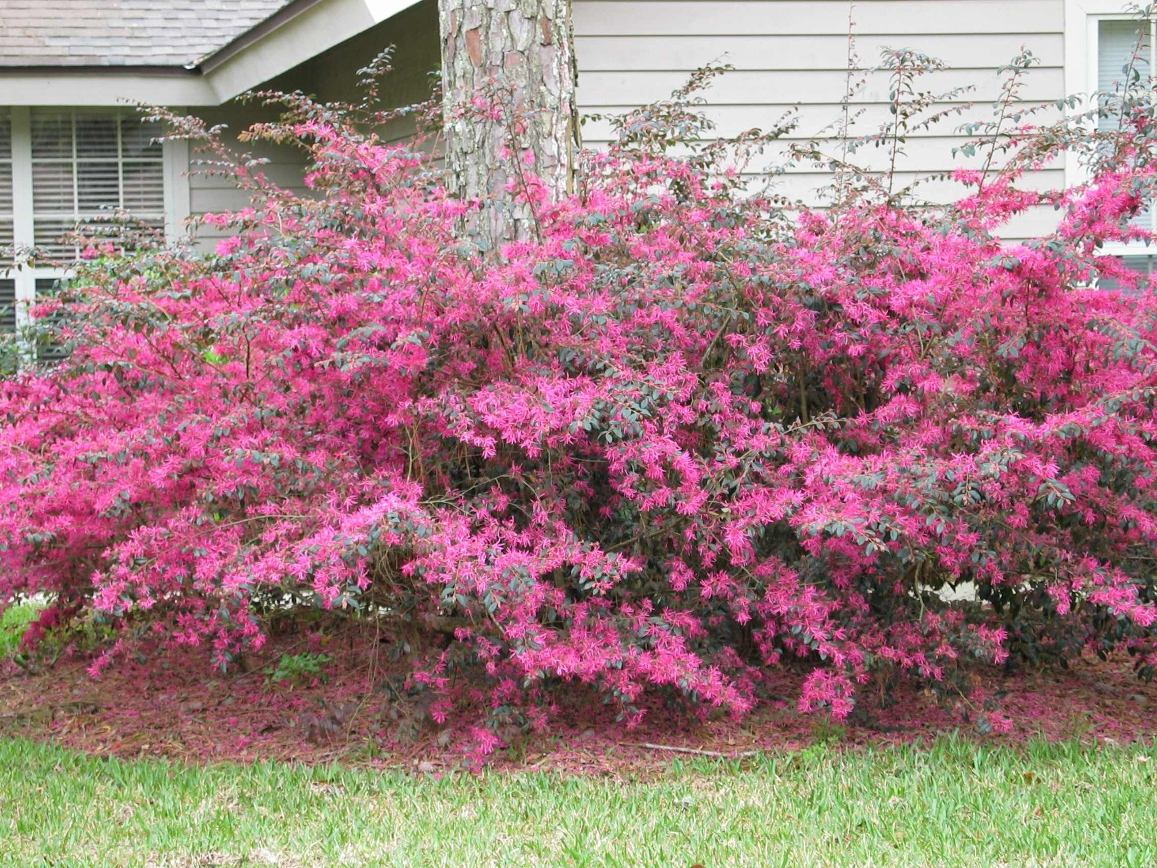 Loropetalum or Chinese Fringe Flower My favorite landscaping shrub has lovely pink flowers in spring and gorgeous green and red and purple foliage all