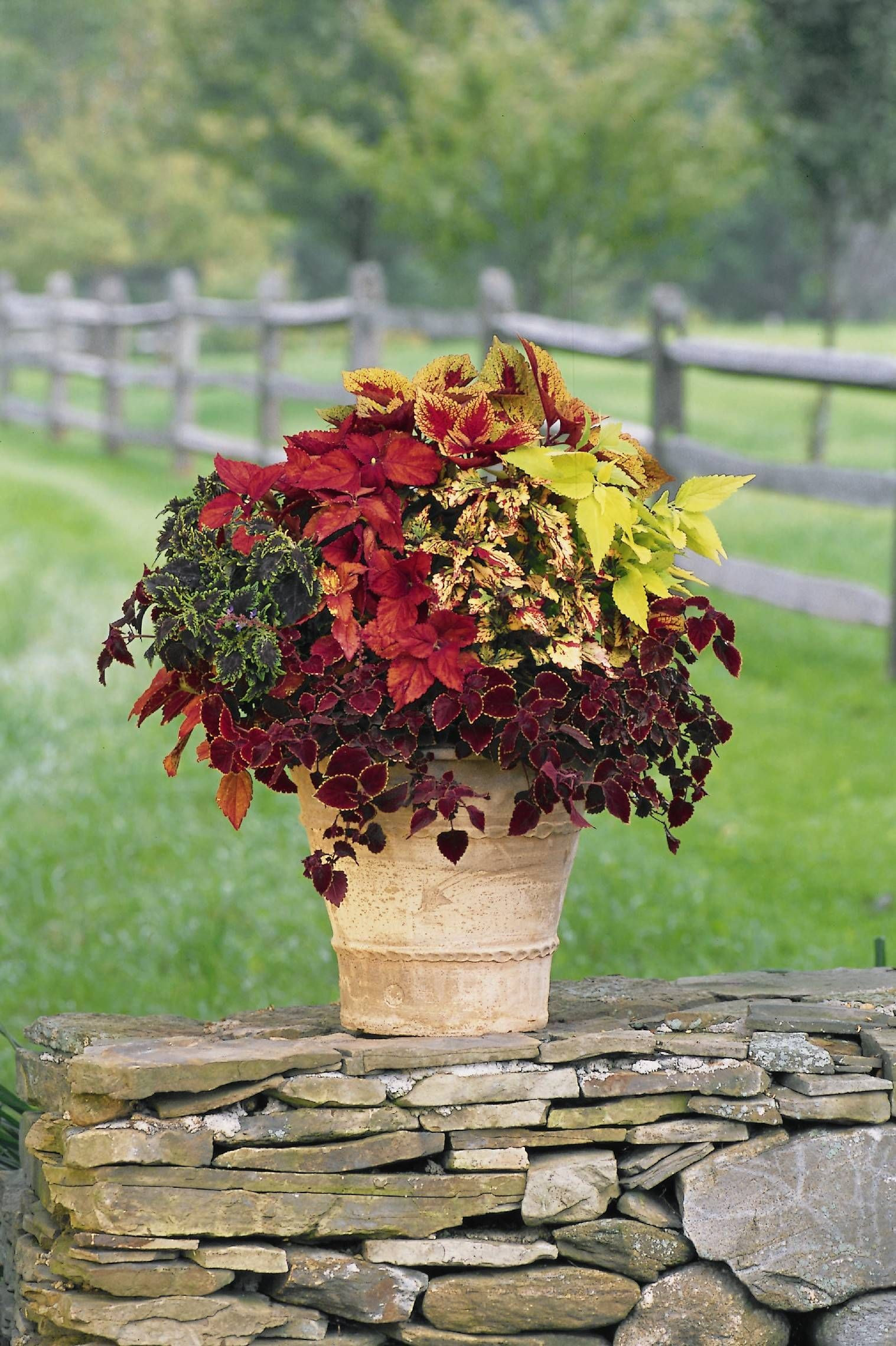 Coleus great container plant for shady areas and beginning gardeners Me me me again