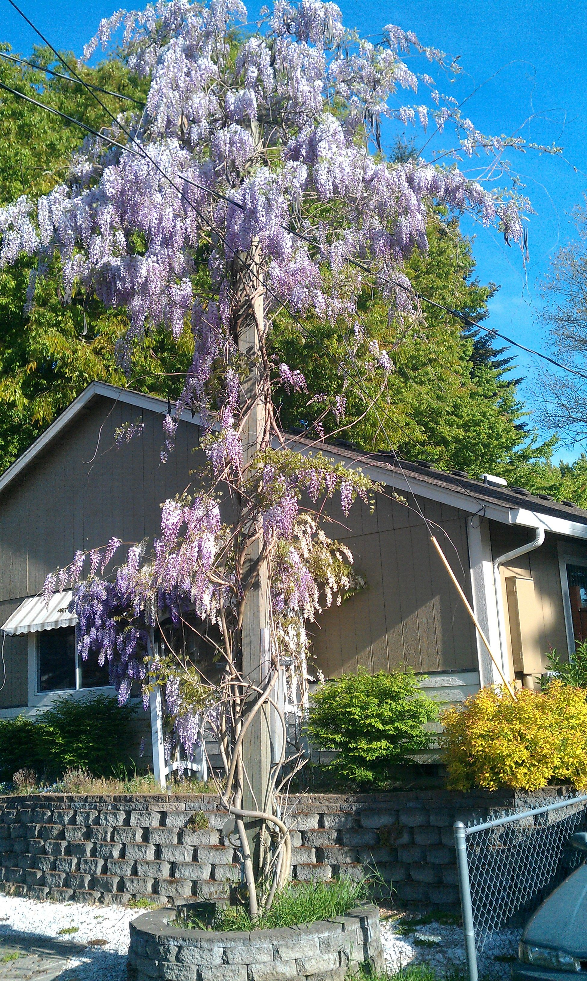 No where to plant a wisteria Train it up the utility pole