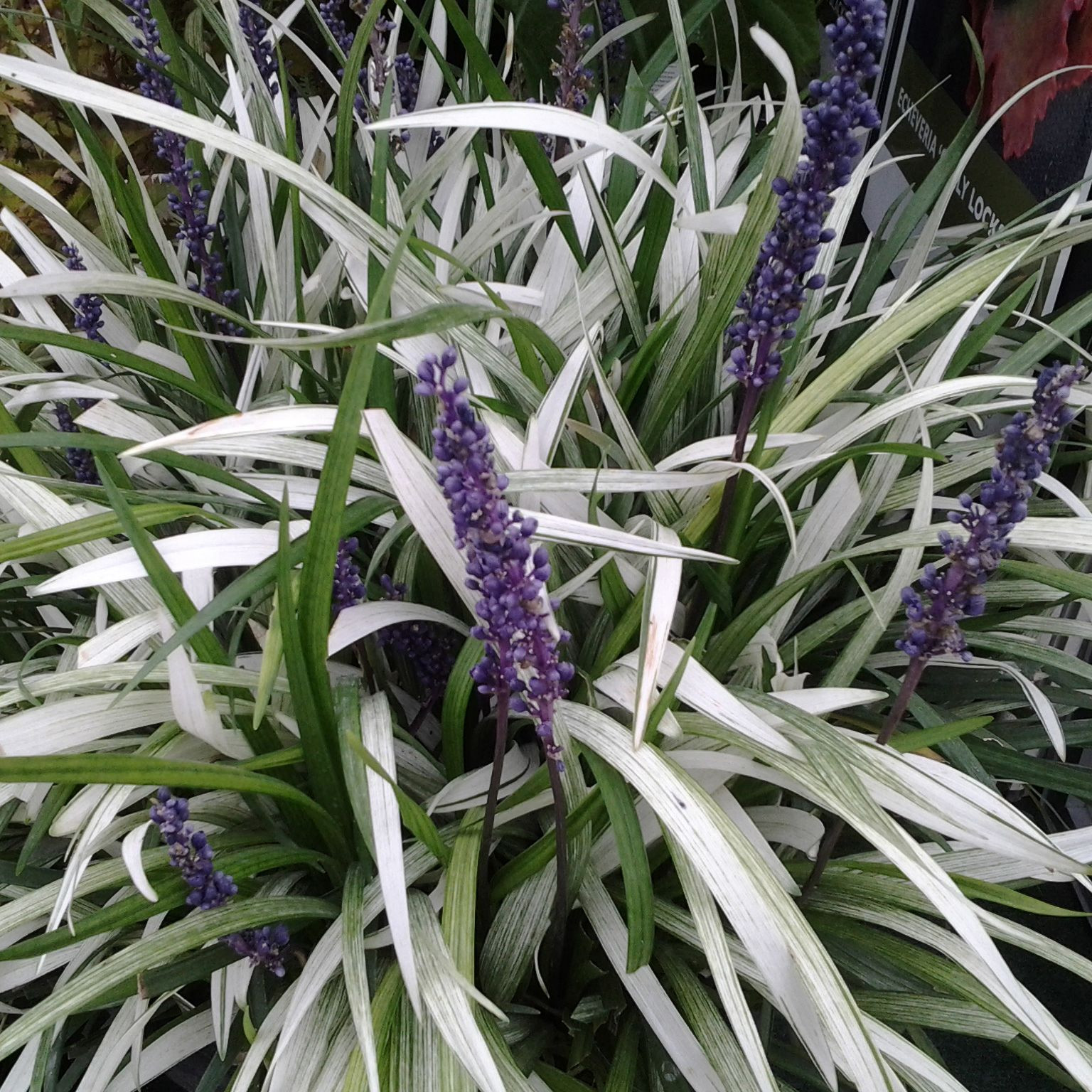 Buy lily turf Liriope muscari Okina PBR Delivery by Waitrose Garden in association with Crocus