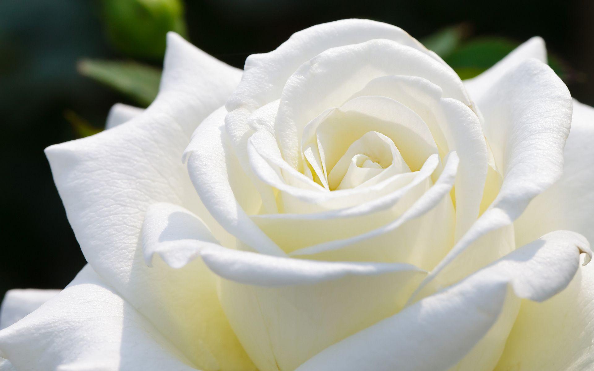 Beautiful White Rose HD Wallpapers