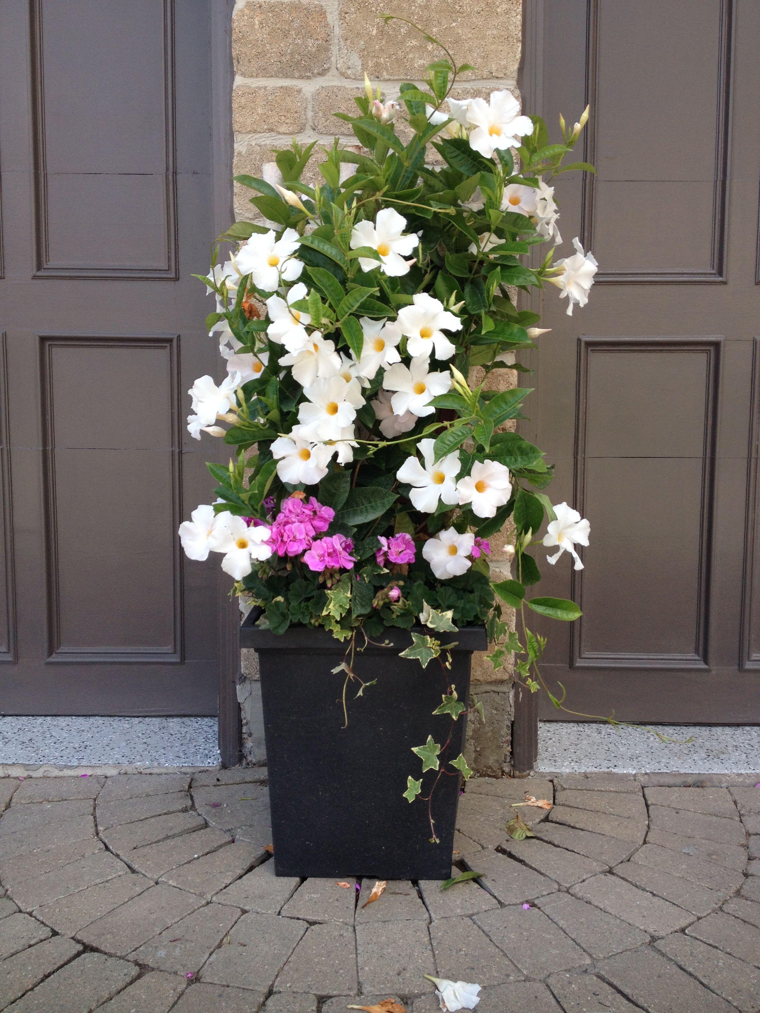 Mandevilla planter