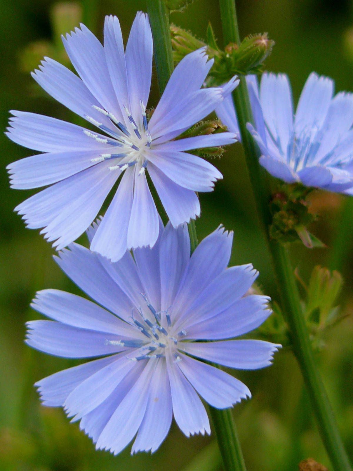 Cichorium intybus mon Chicory Daisy Family Asteraceae Pinterest