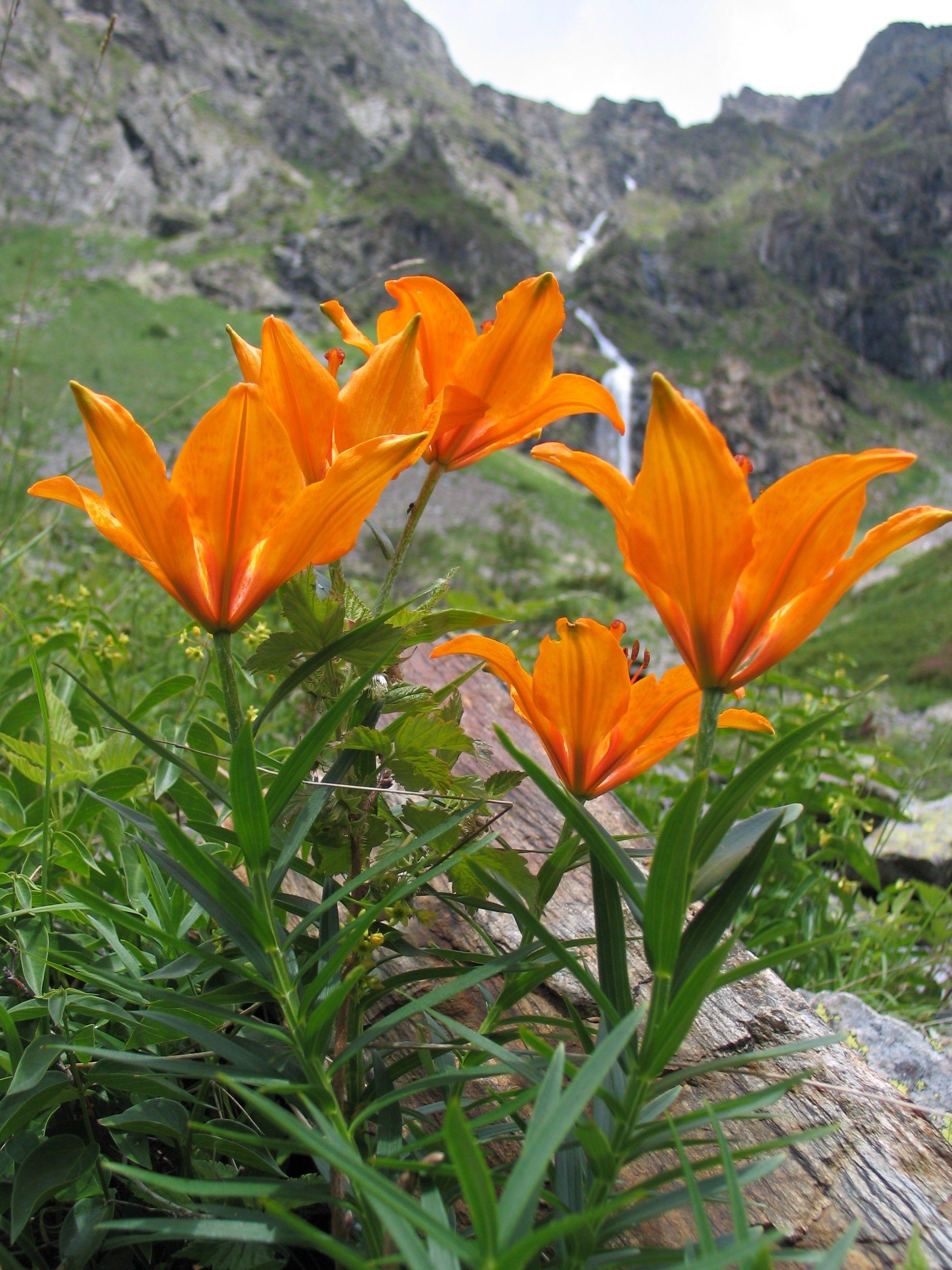 Flor Nacional de Liechtenstein Azucena de fuego Lilium Bulbiferum