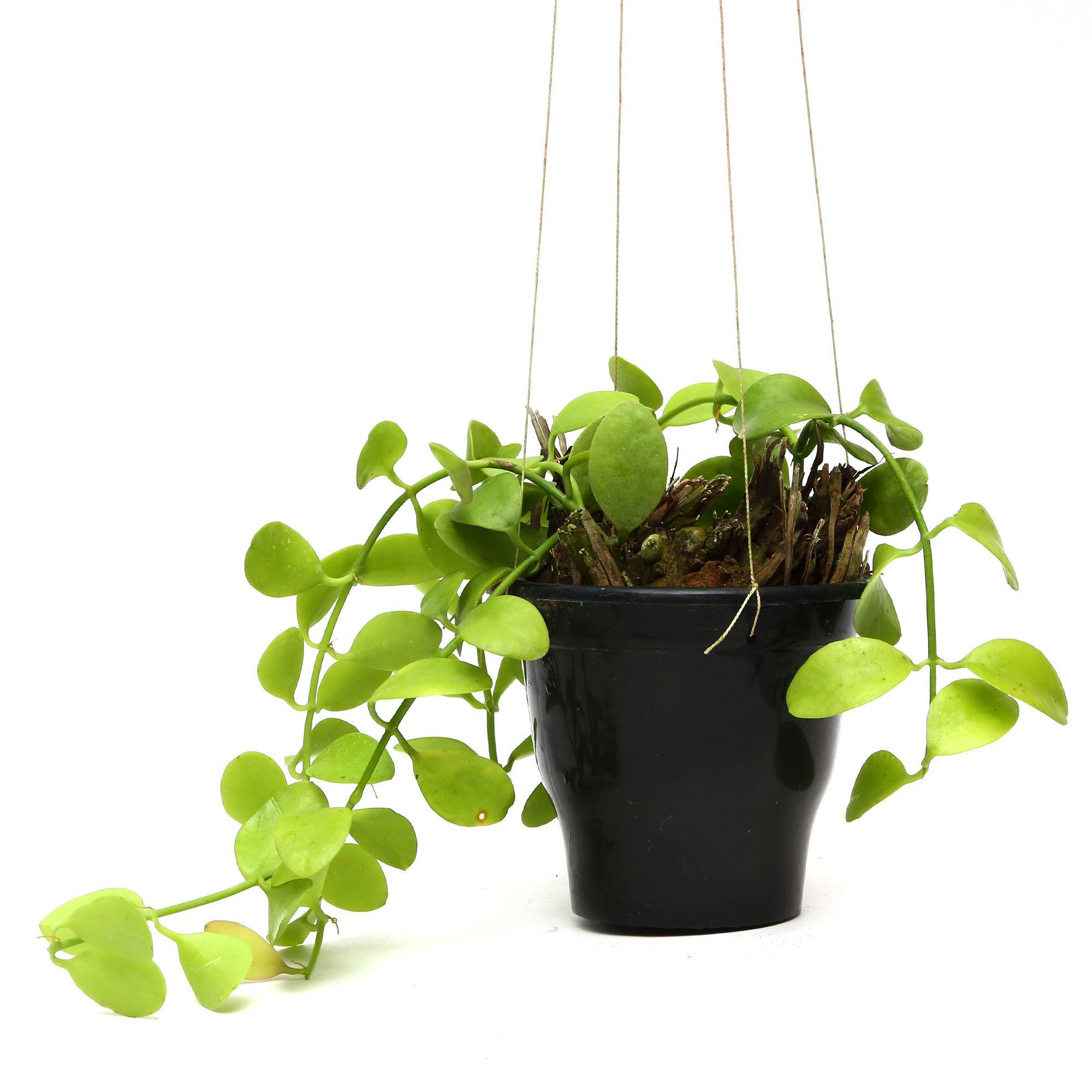 Plants & Pots Hanging Hoya Plants Both Indoor Plant