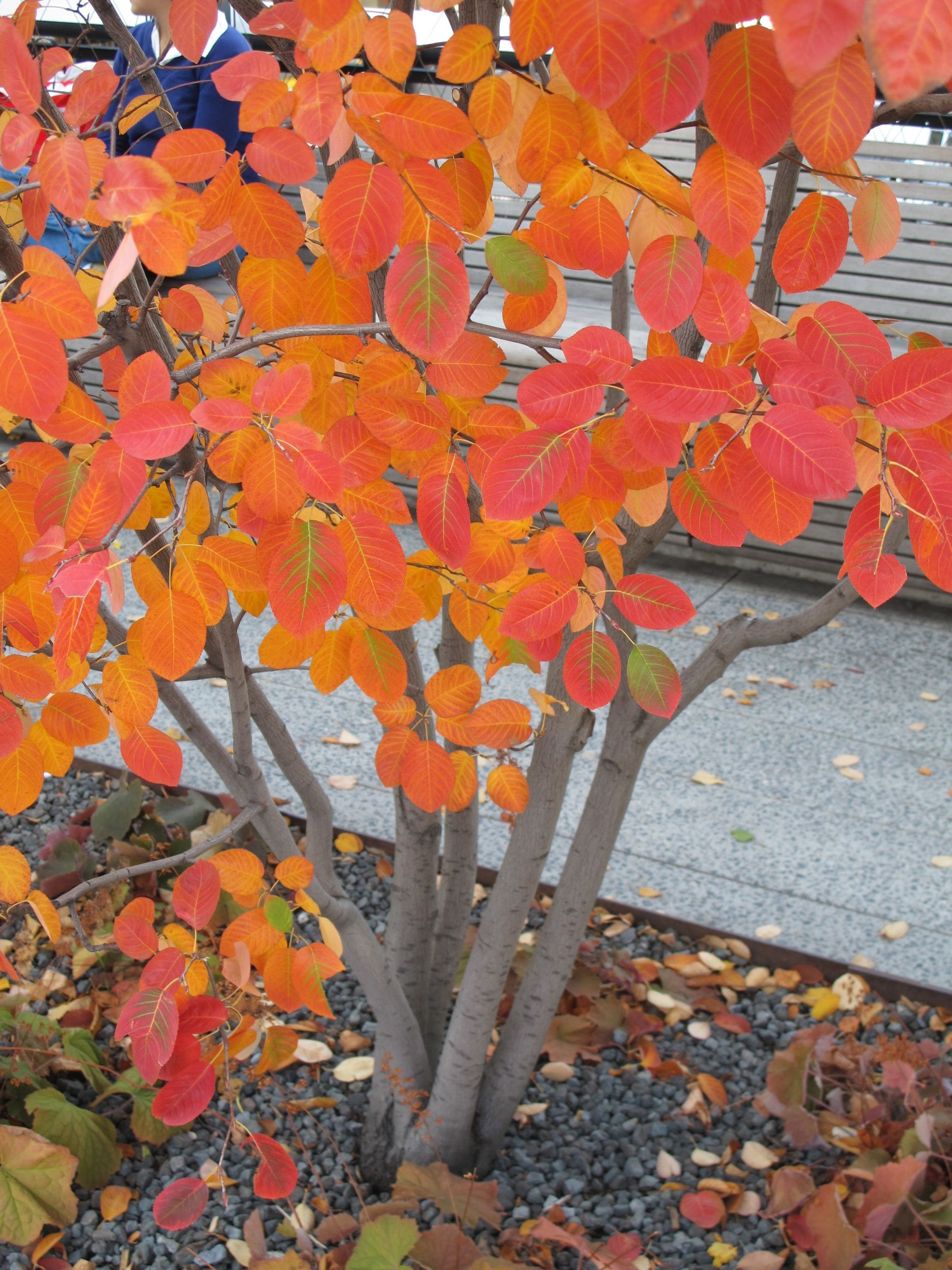 High Line Amelanchier A great big shrub small tree Perfect for your space Blossom in the spring great autumn colour and lovely multi stemmed branch