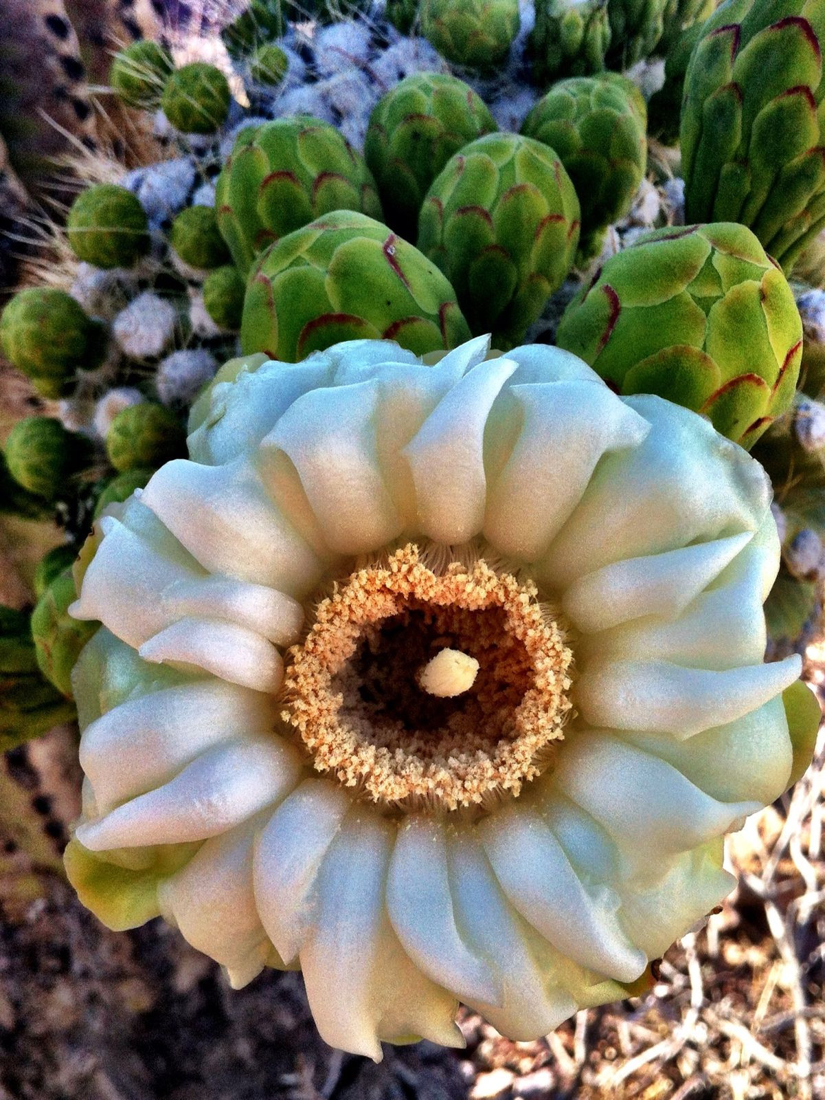Bela flor do Carnegiea gigantea o cacto Saguaro fotografado no Parque Nacional de Saguaro Tucson estado do Arizona A maioria das flores est£o no topo