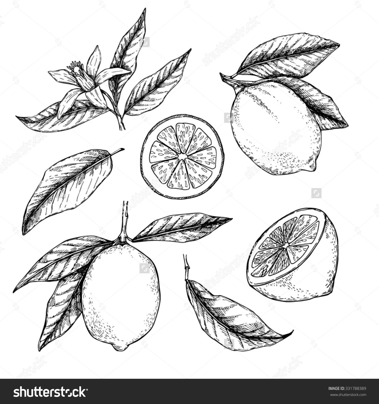 Hand drawn vector illustration Collections of Lemons Blossom plant with leaves