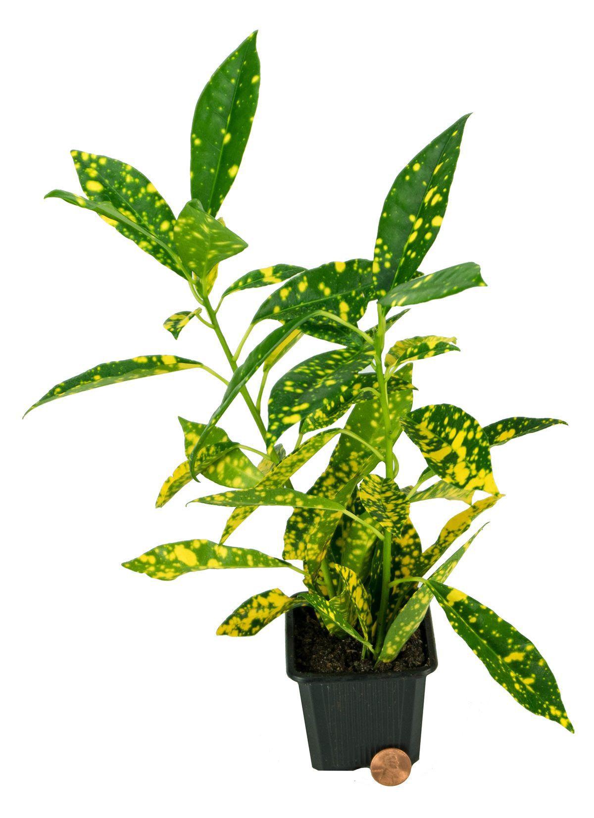 PLANT WORLD Croton Plant Codaeium Variegatum Both Indoor Plant