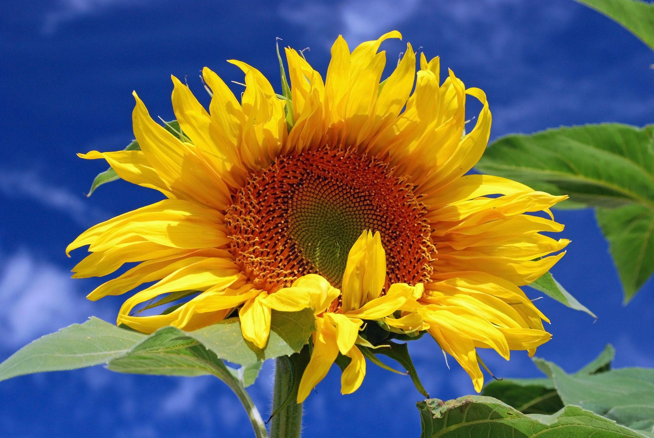 sunflower 57d16df75f9b5829f f