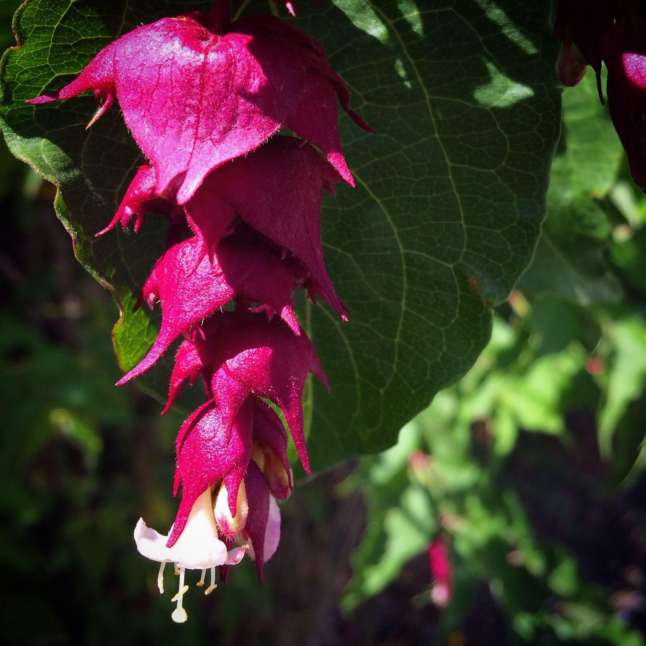 Flower · Himalayan Jasmine