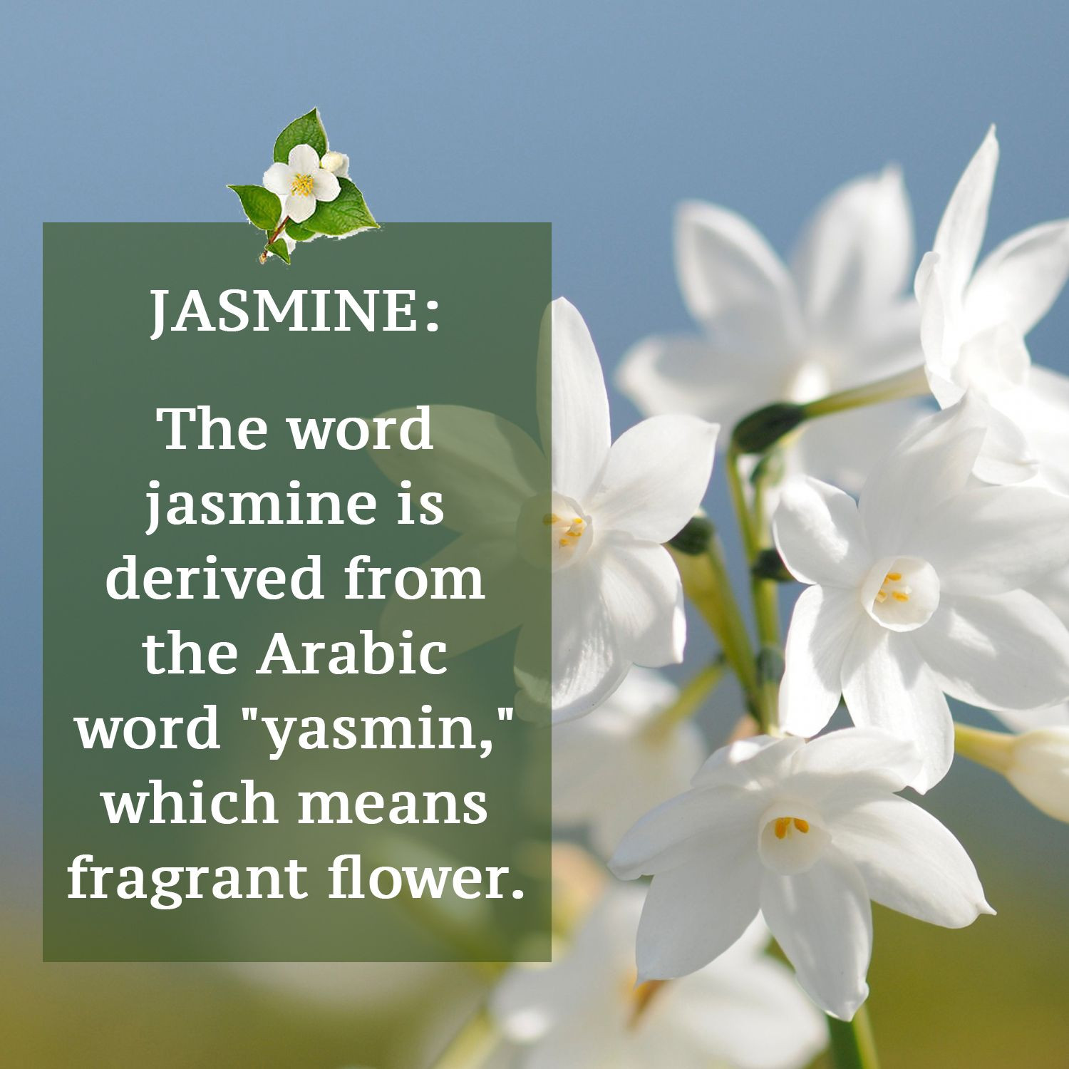 """The word jasmine is derived from the Arabic word """"yasmin """" which means fragrant"""