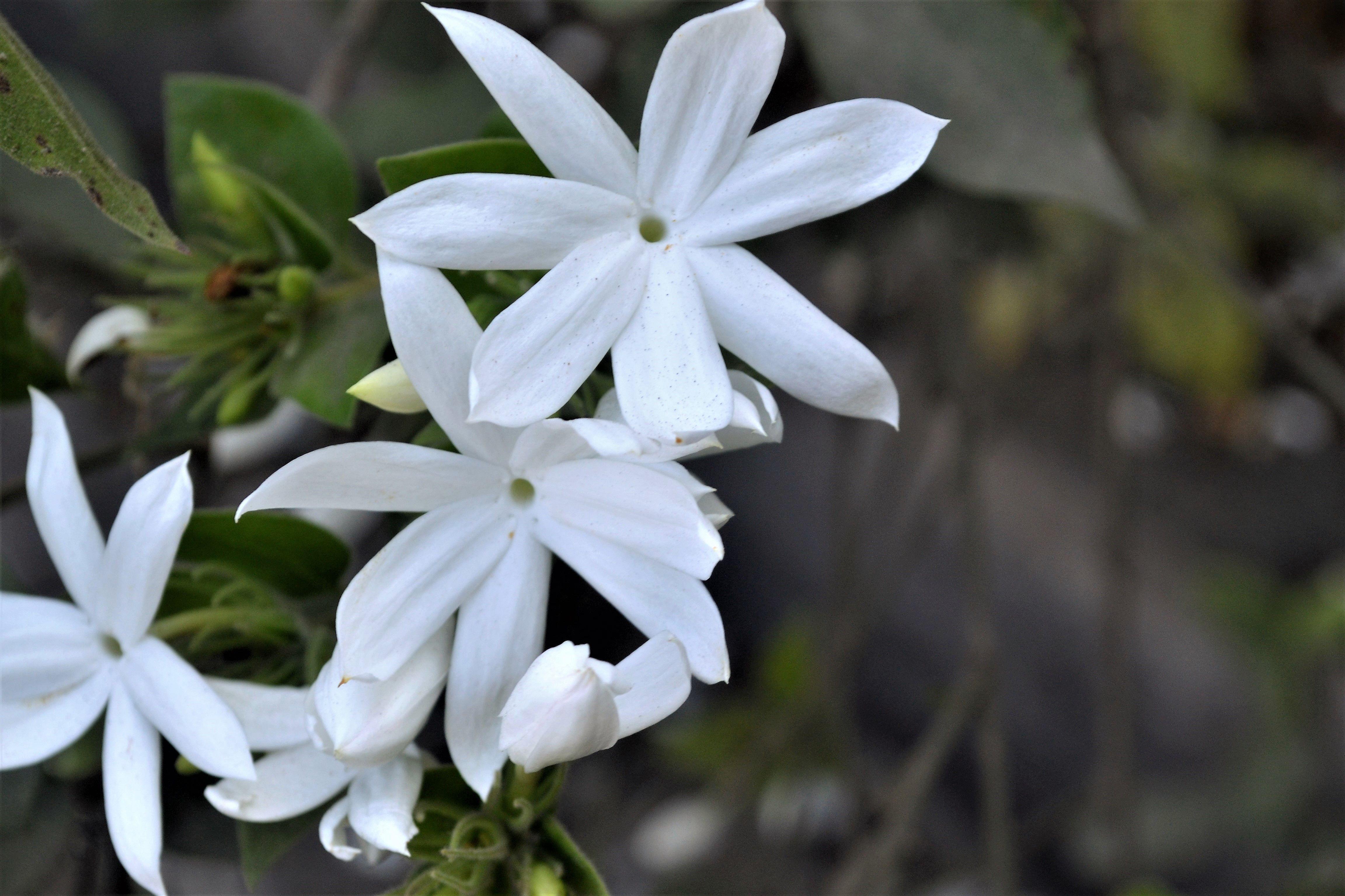 star jasmine chinese star jassamine confederate jasmine 5a53bb920c1a a7a