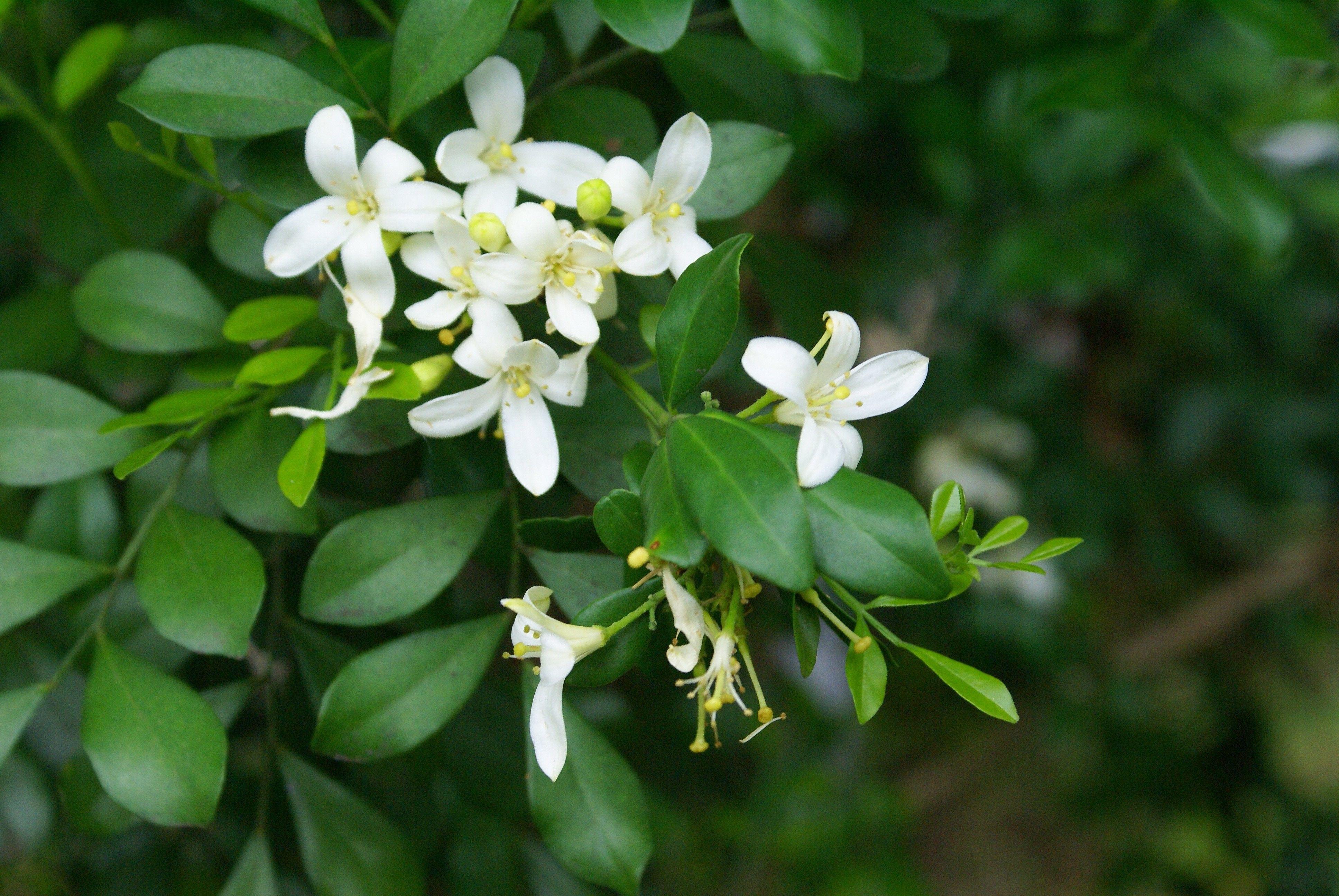 Murraya paniculata 七里香