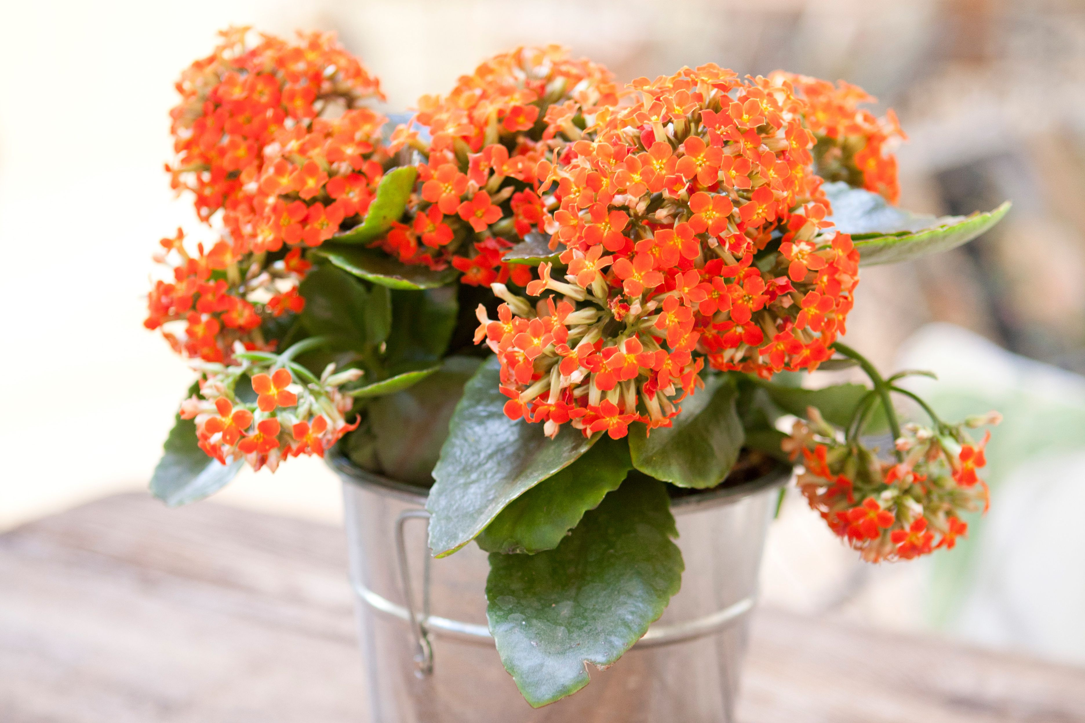 Kalanchoe Getty 58d537e63df78c bbb6f