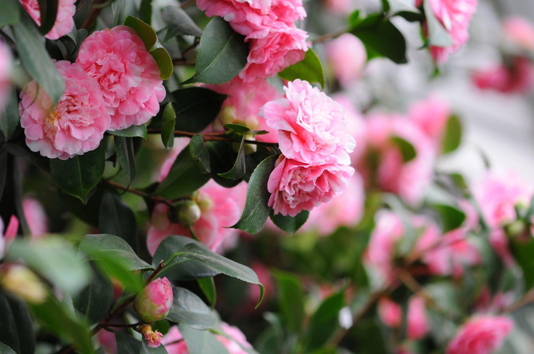camellia 58f f9b582c4d0949ed