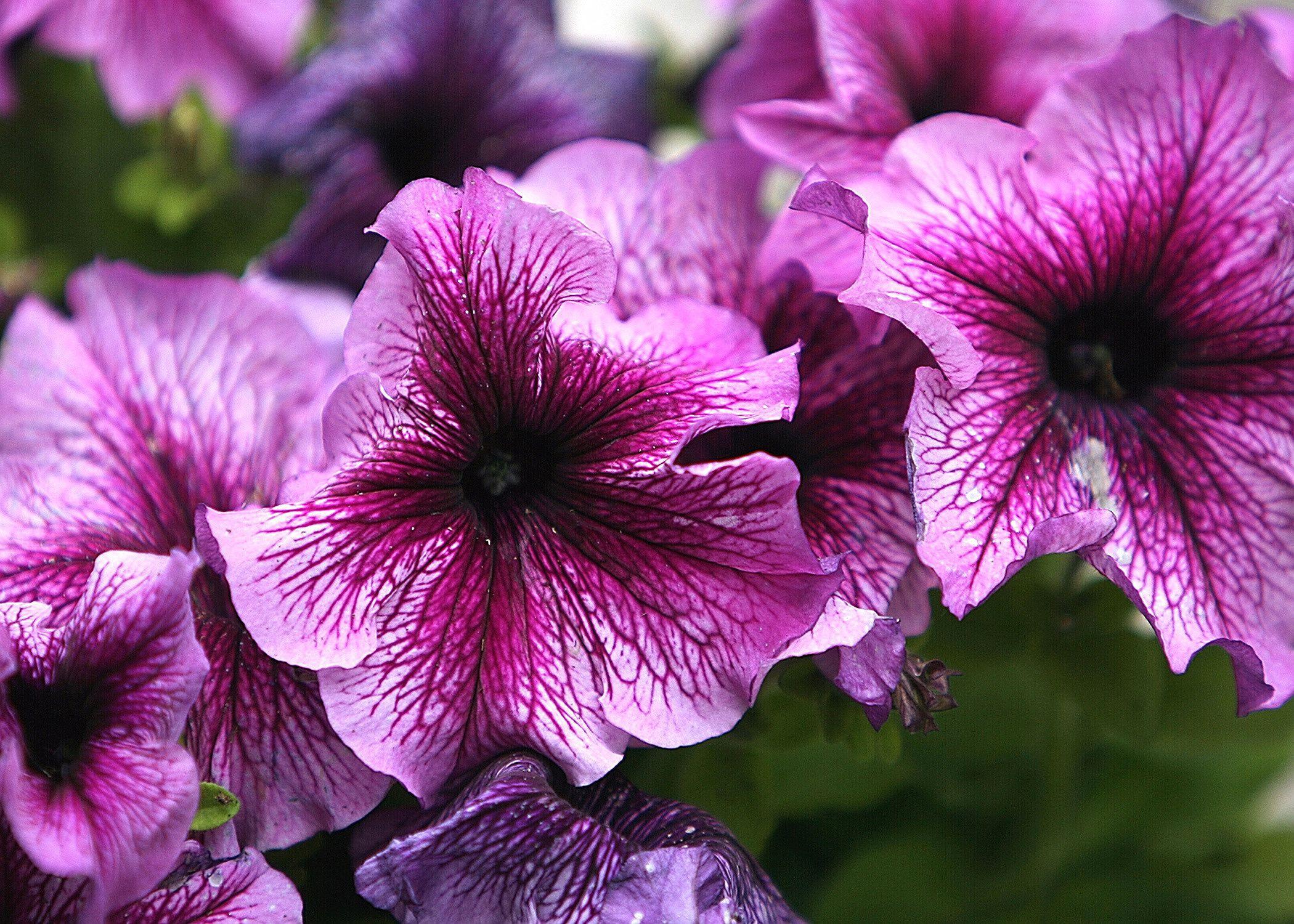 petunias flower f745f9b584db3c3f42f