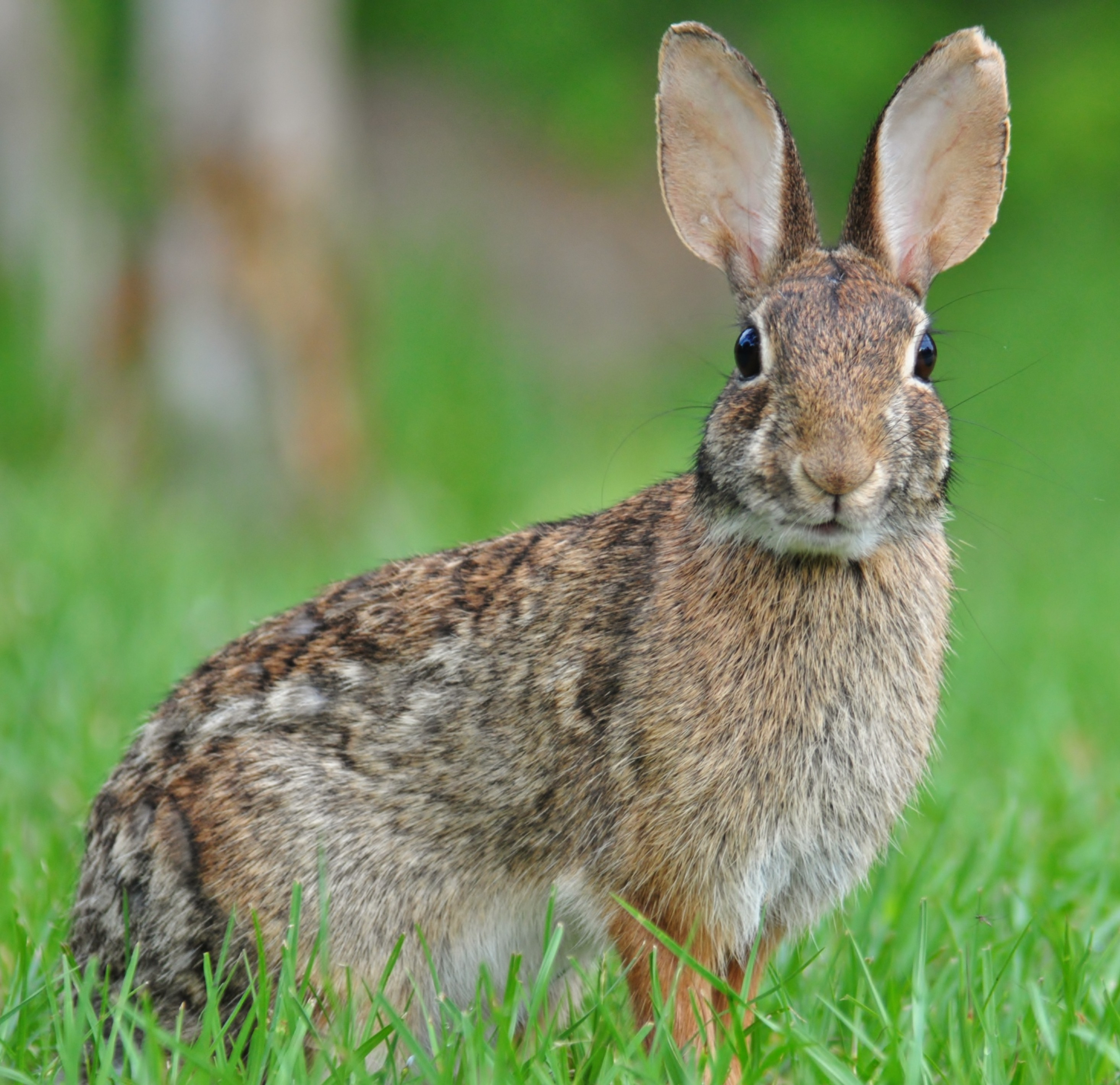 Eastern Cottontail JPG