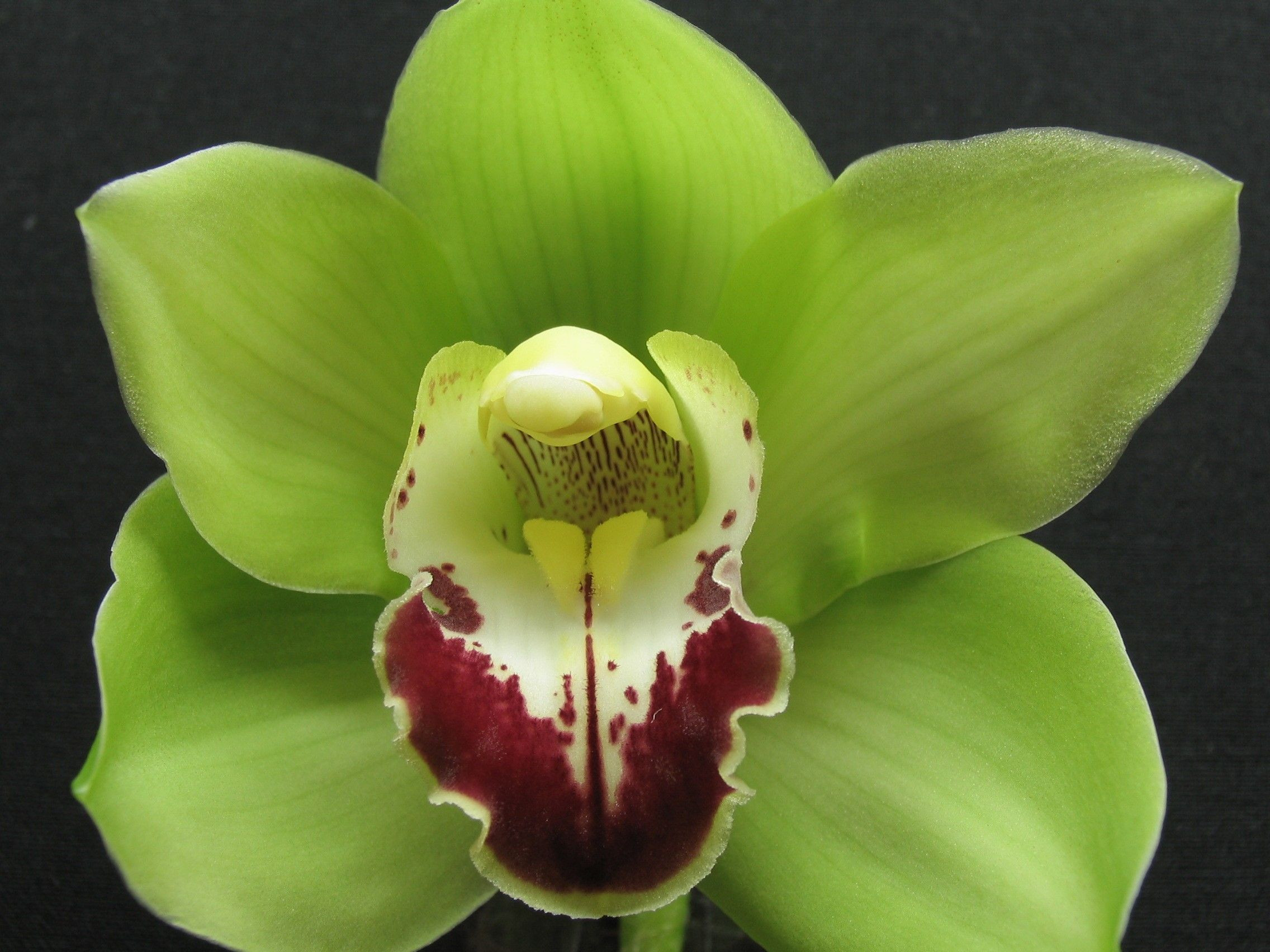 Green Cymbidium a larger orchid excellent for single flower corsages or as a unique form in any design