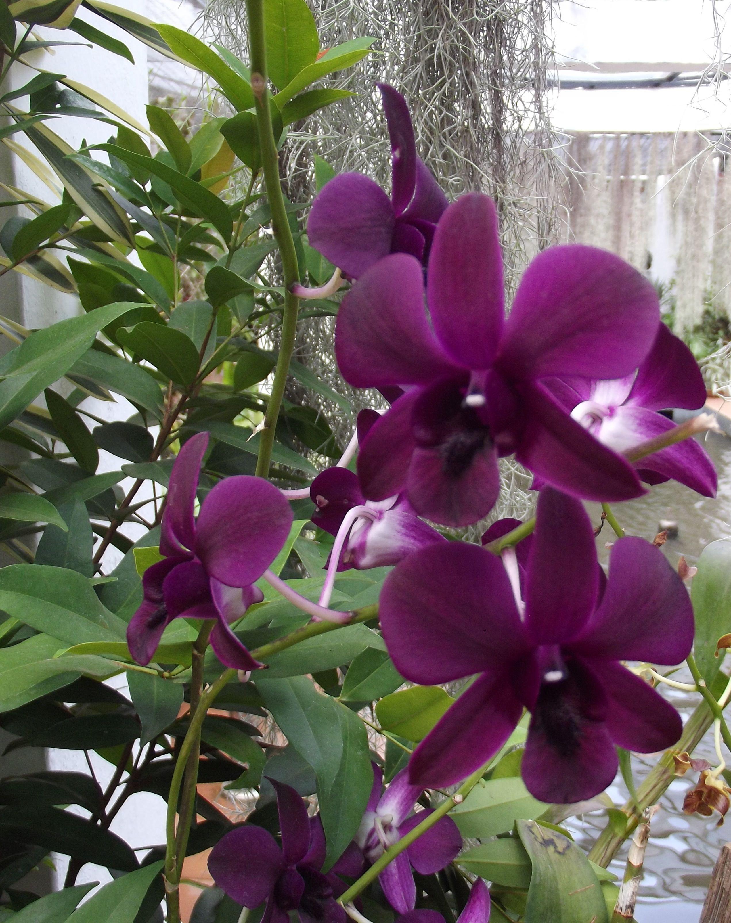 Orchid House Royal Botanic Gardens Peradeniya Kandy Sri Lanka graphy M Rizmy