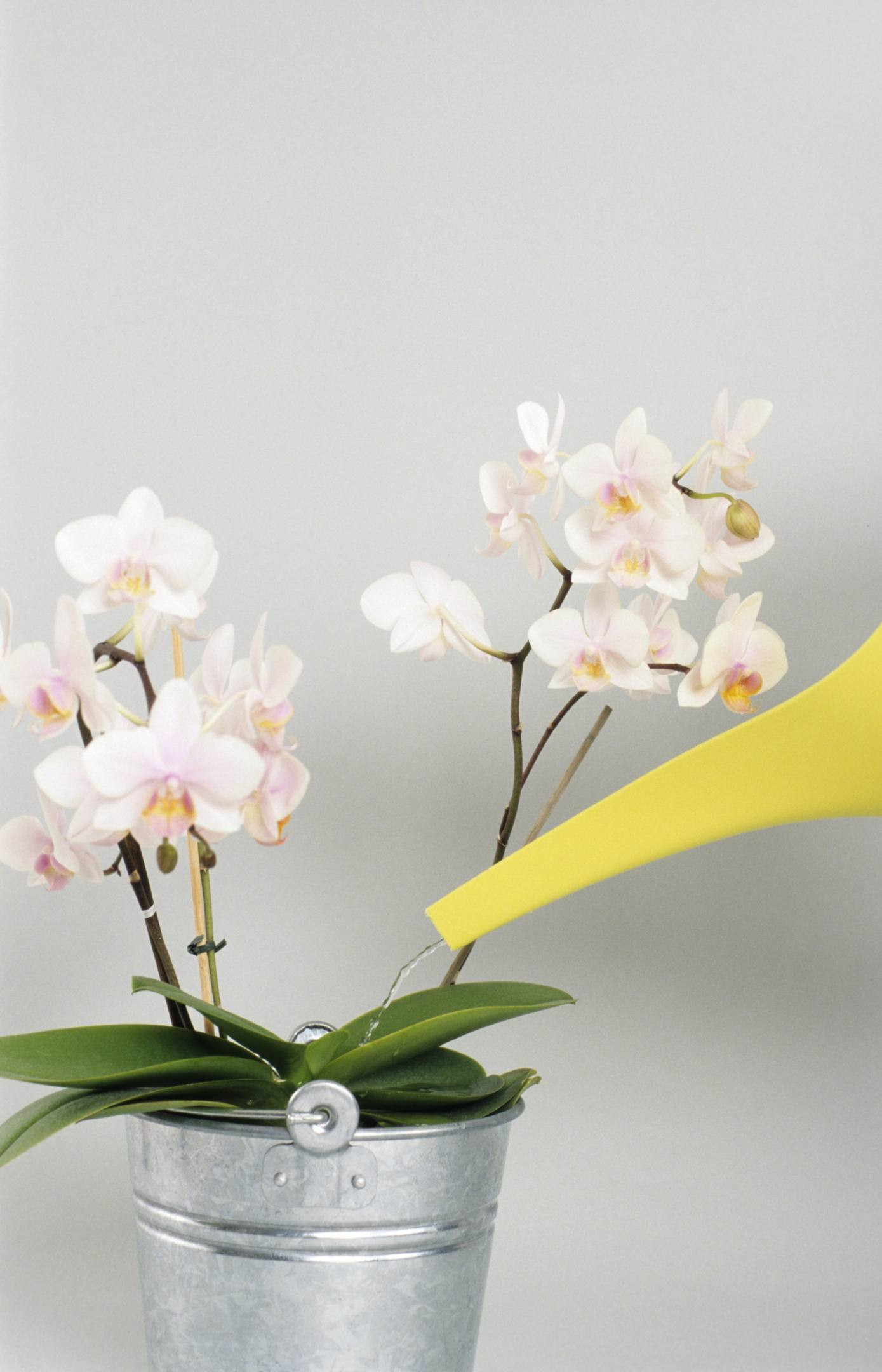 Orich Flower Lovely How to Get orchids to Bloom and Rebloom