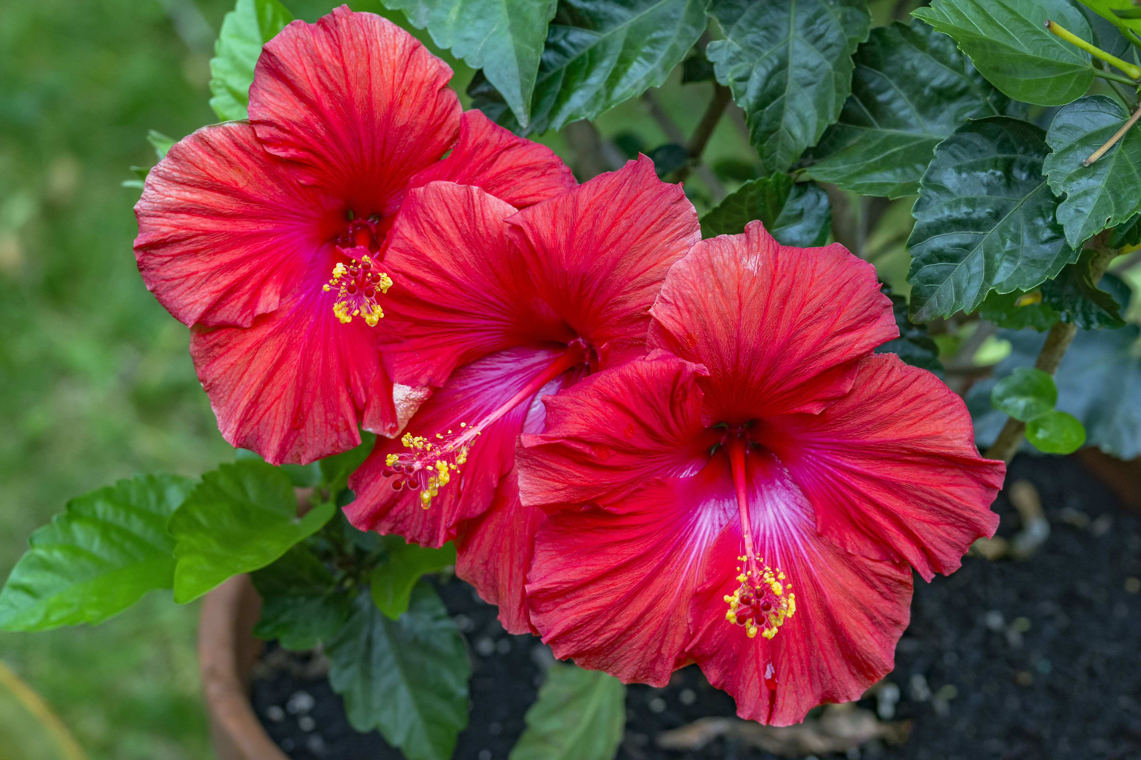 trio of vibrant red hibiscus flowers with bright yellow stigma growing in garden pot 5abea fa eef63e
