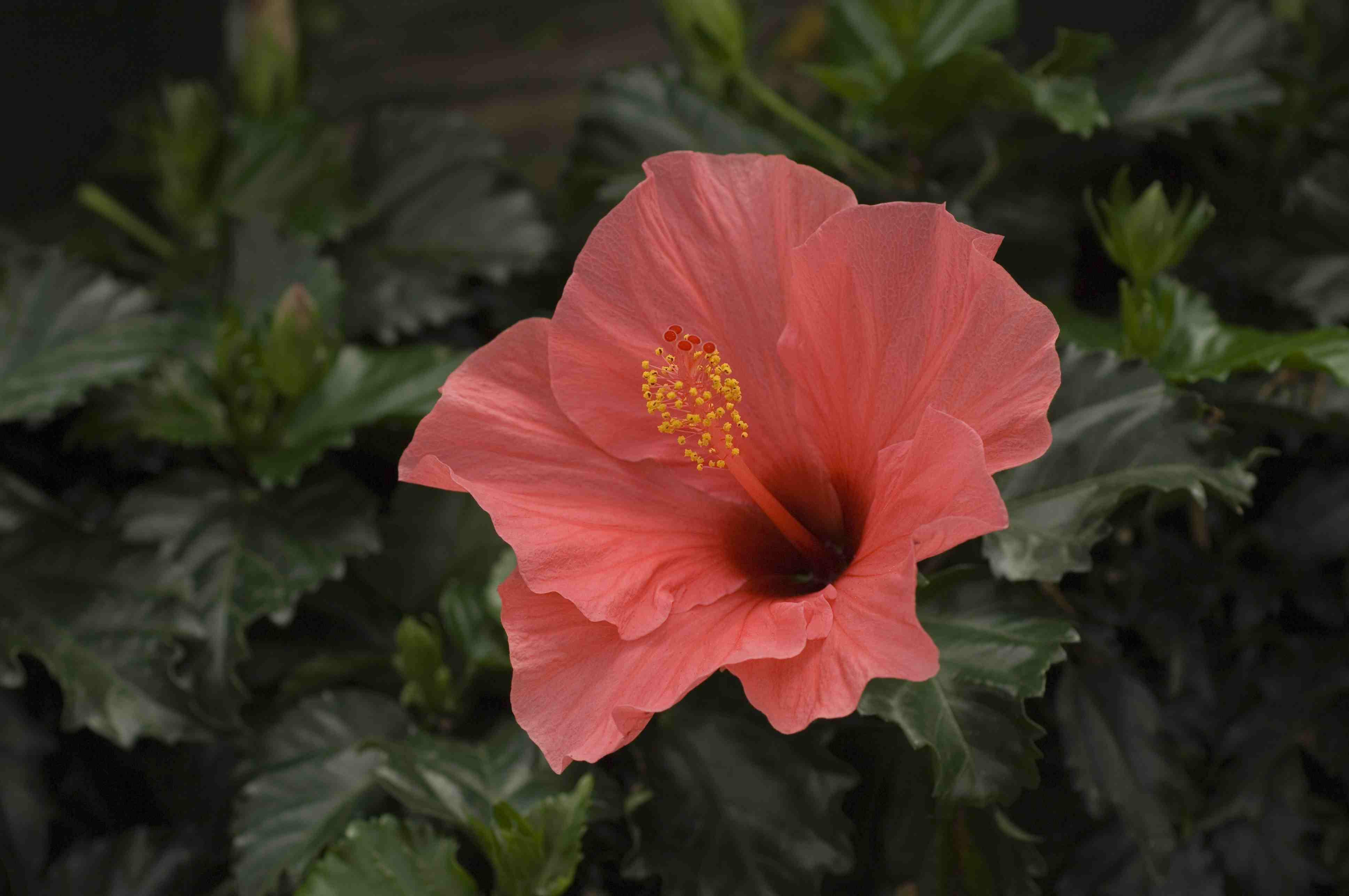 hibiscus 56a08ed63df78cafdaa2b507