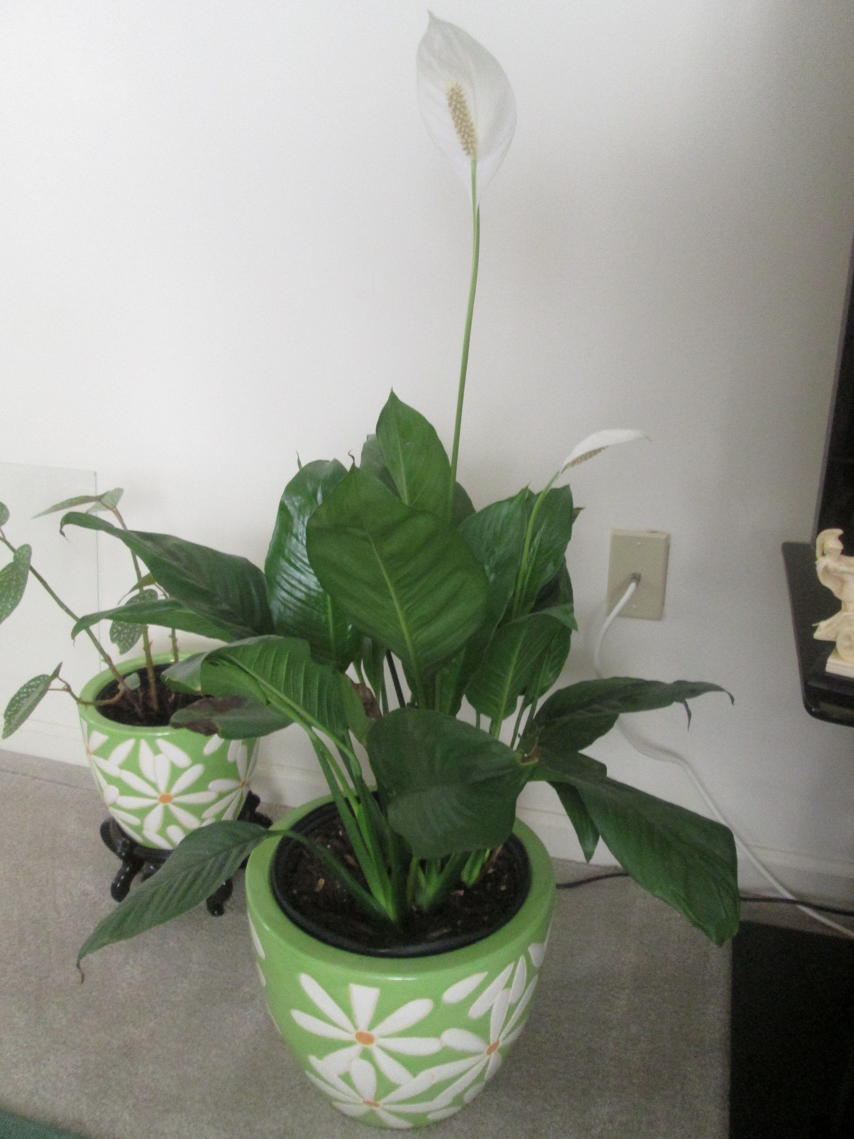 White flowers Peace Lily Spathiphyllum flowering