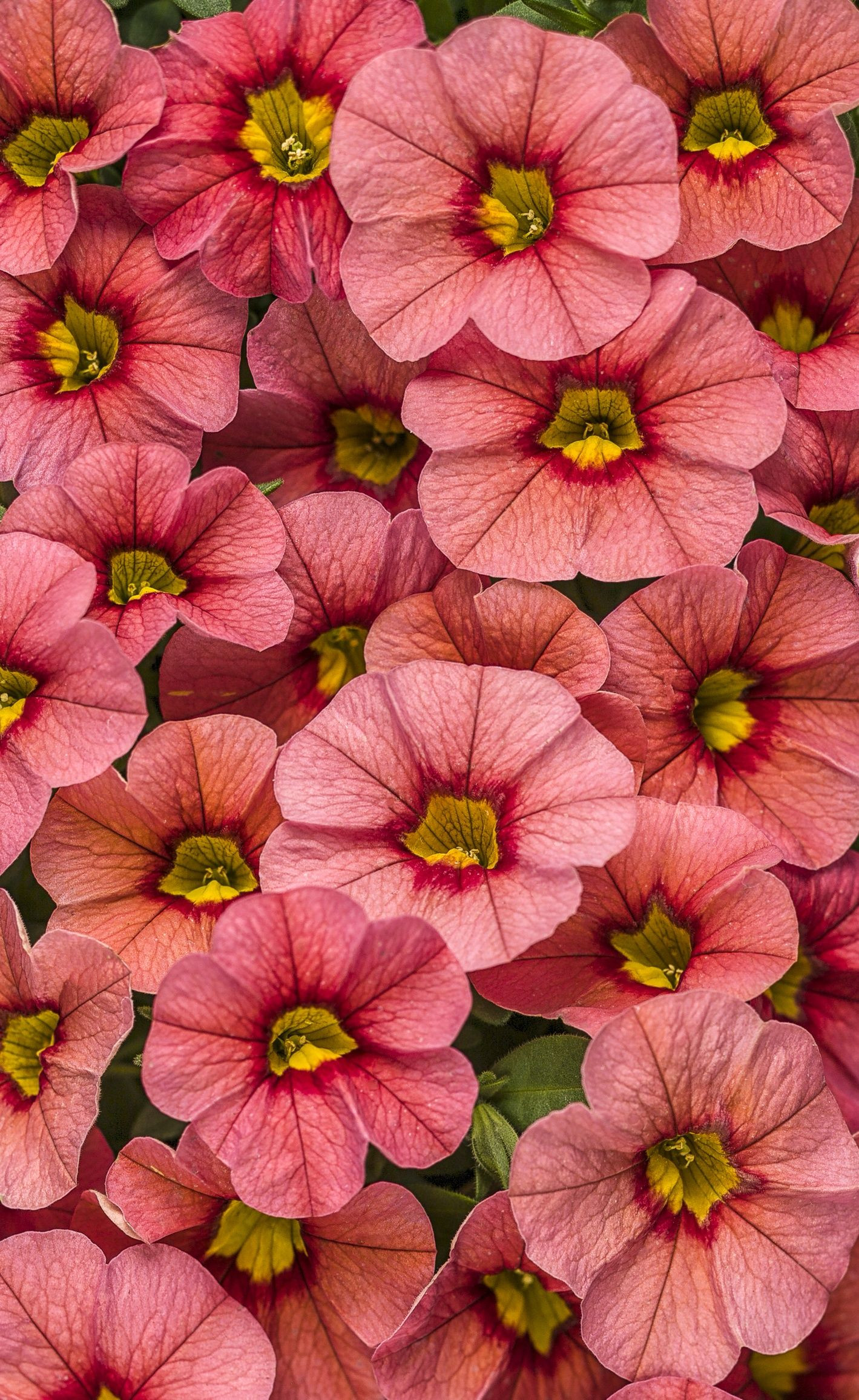 Proven Winners Superbells Coralina Calibrachoa hybrid pink red coral pink plant details information and resources