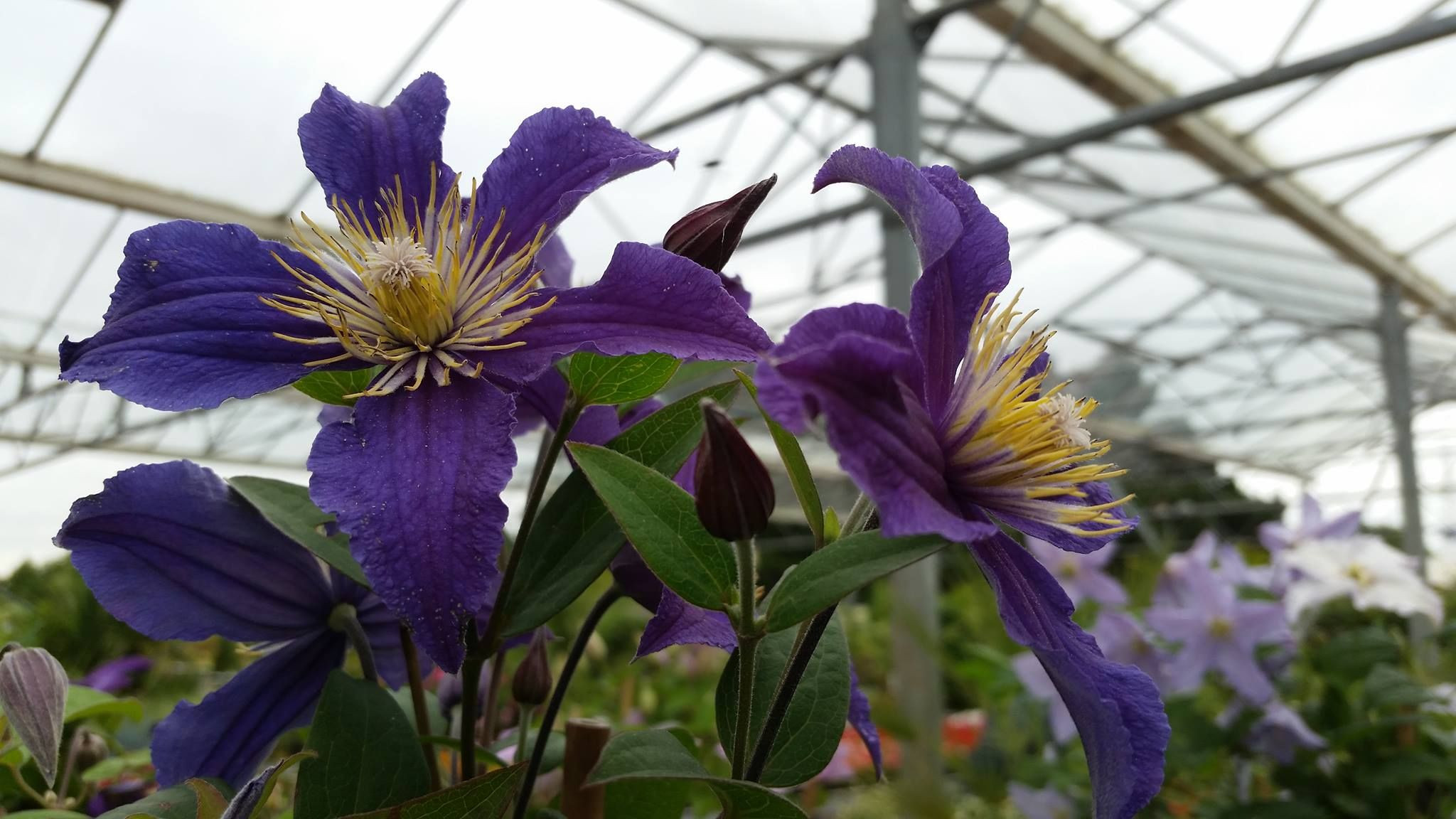 New clematis Hagley Blue Angus So many blue flowers Piilu Mrs